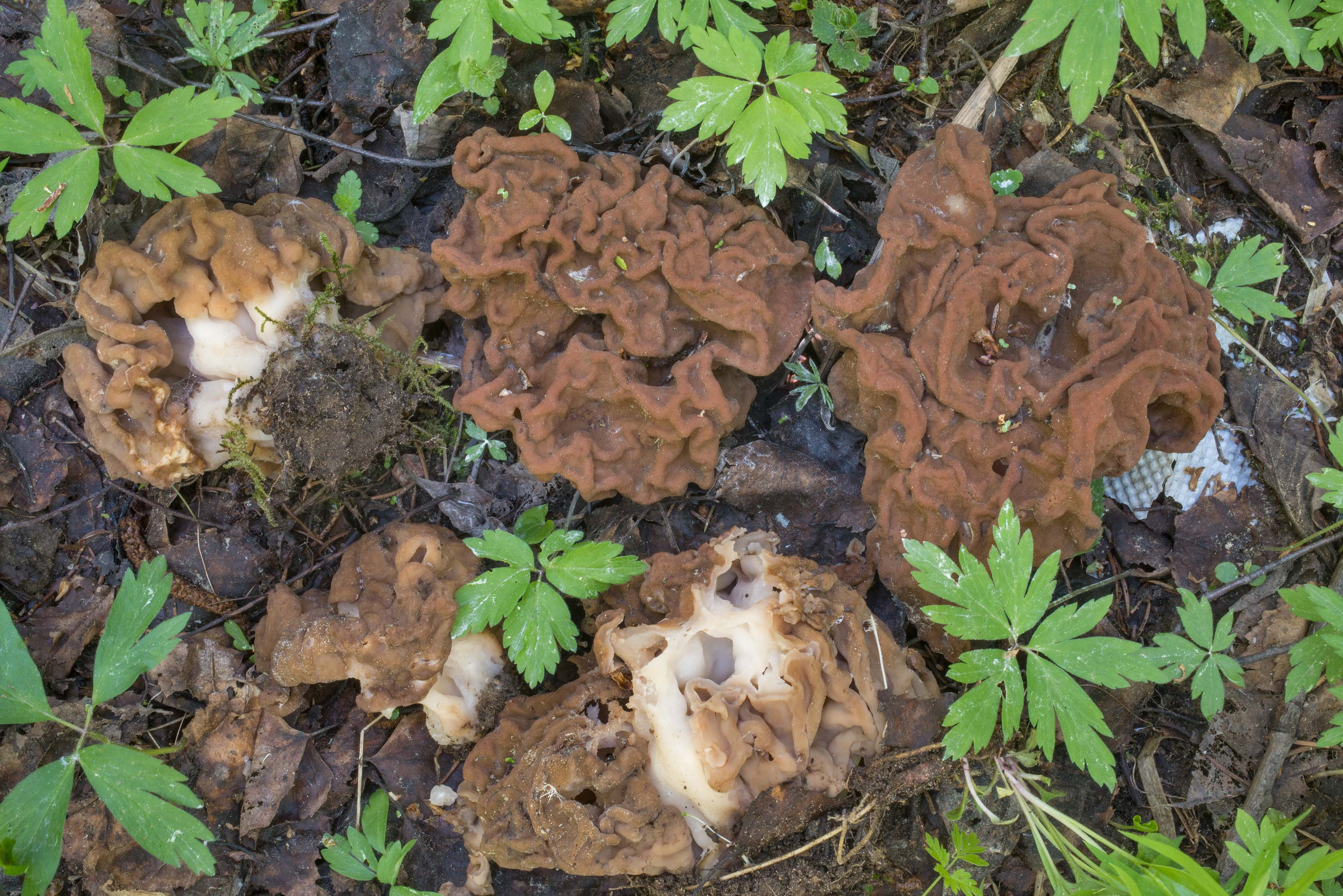 Mature snow morel mushrooms (Gyromitra gigas) on...north from St.Petersburg. Russia