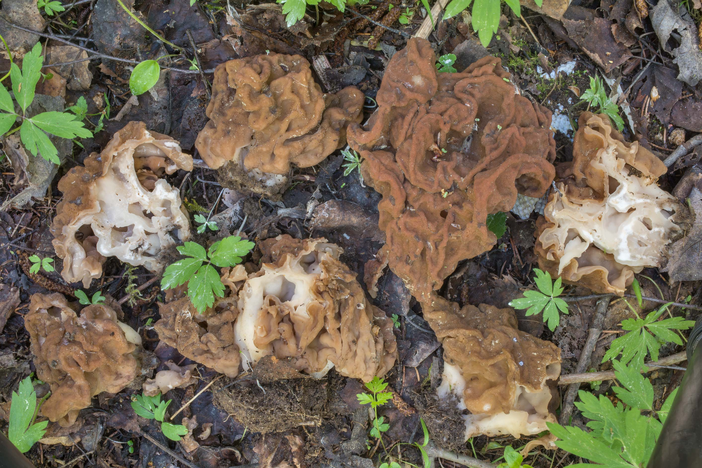 Mature snow morel mushrooms (Gyromitra gigas) in...north from St.Petersburg. Russia