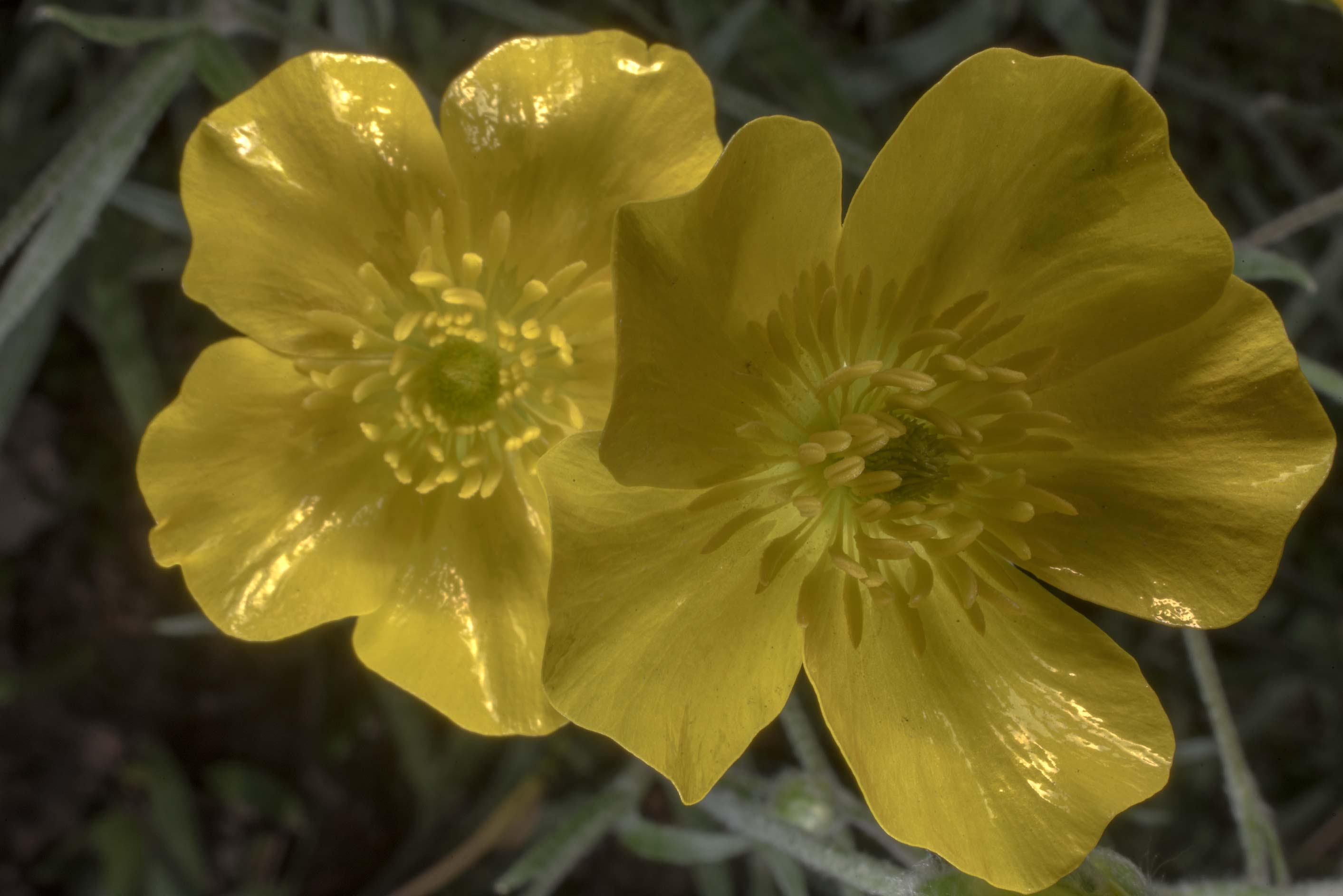 Buttercup flowers (Ranunculus) in Peter the Great...Institute. St.Petersburg, Russia