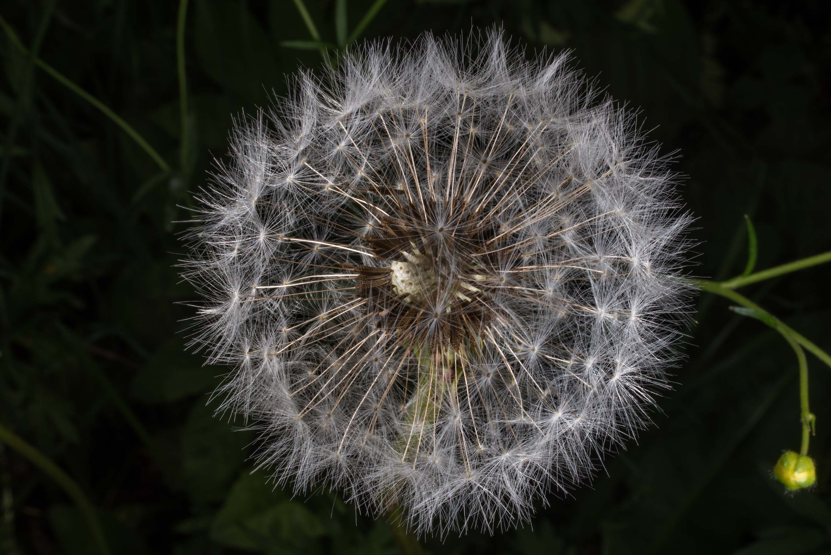 Fluffy seed head of common dandelion (Taraxacum...Institute. St.Petersburg, Russia