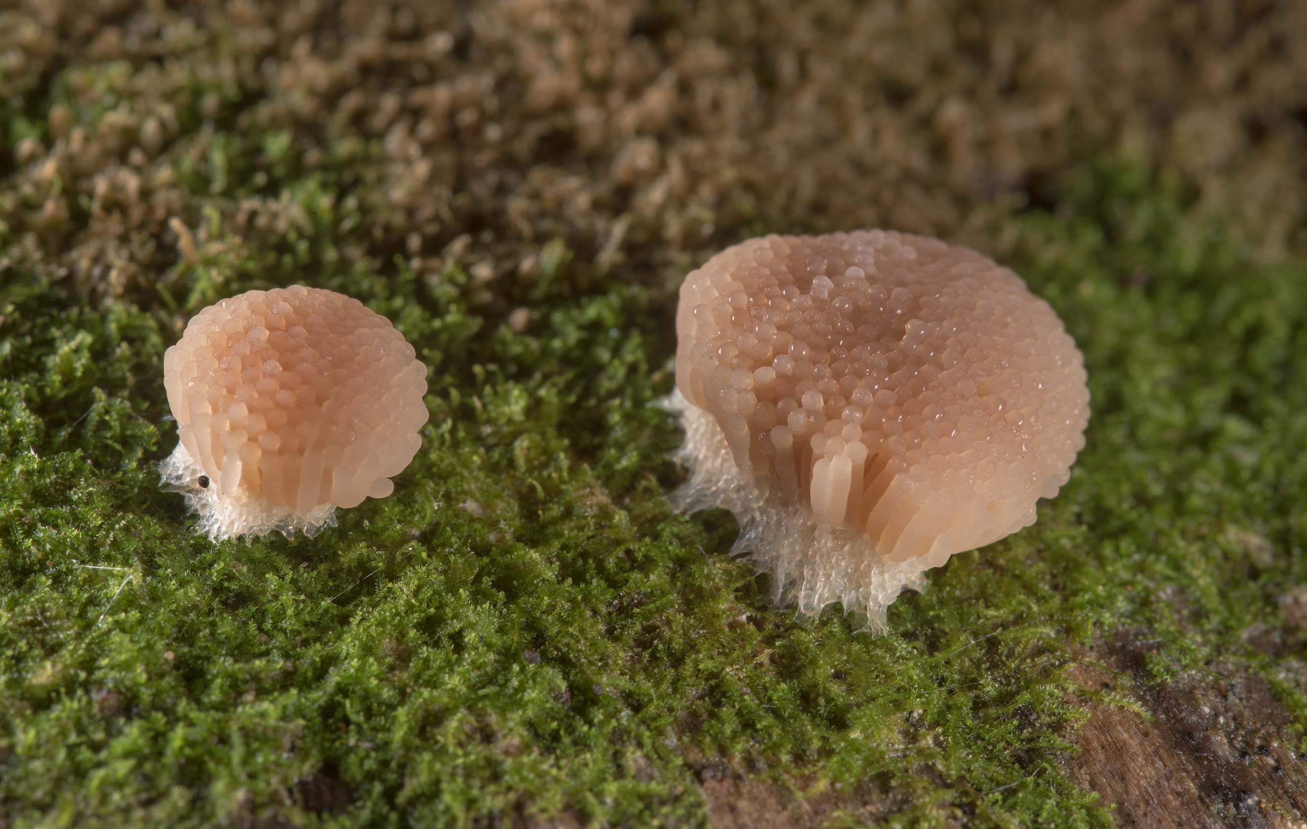 Side view of Tubifera dimorphotheca slime mold on...National Forest near Huntsville. Texas
