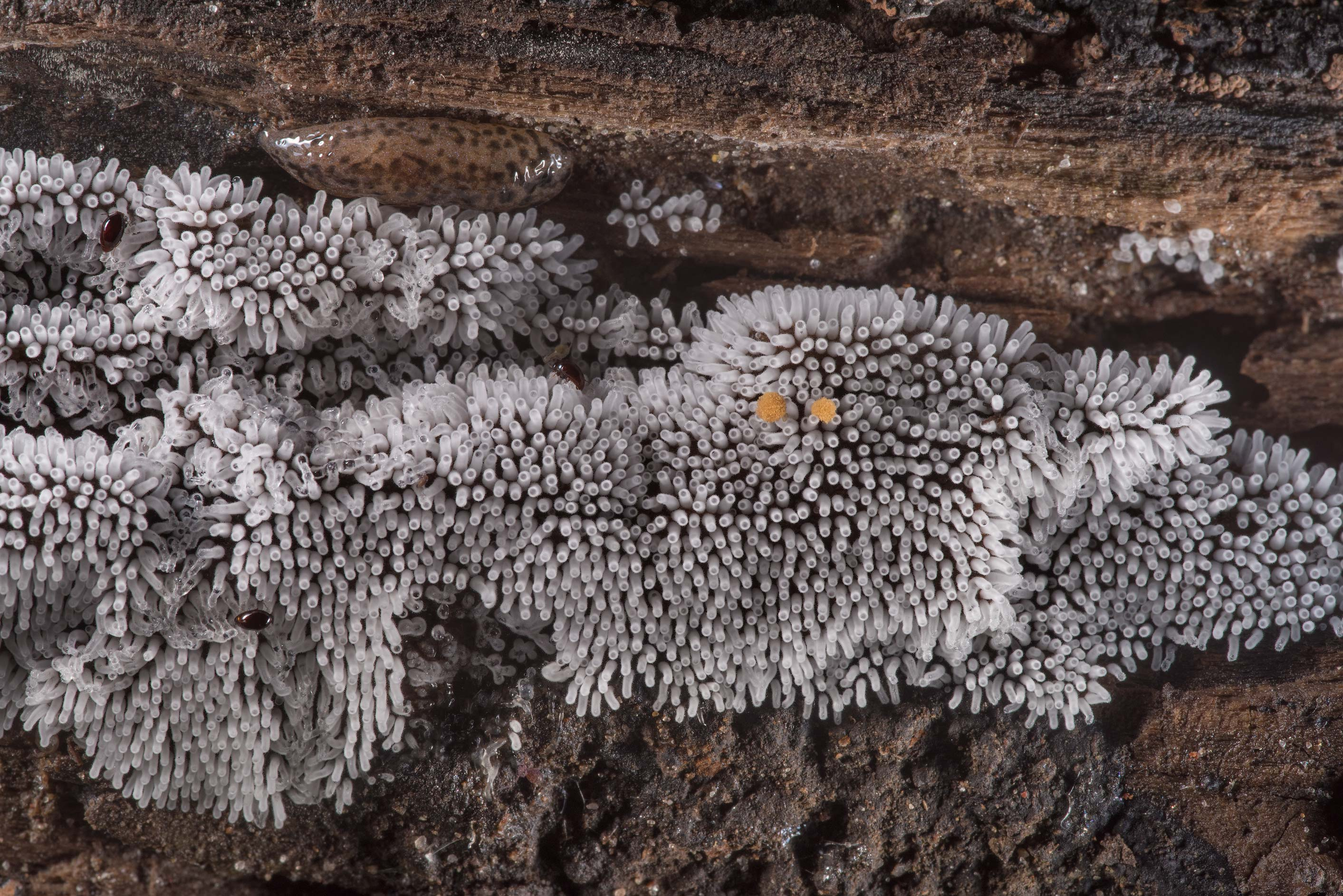 Coral slime mold (Ceratiomyxa fruticulosa) with a...National Forest near Huntsville. Texas