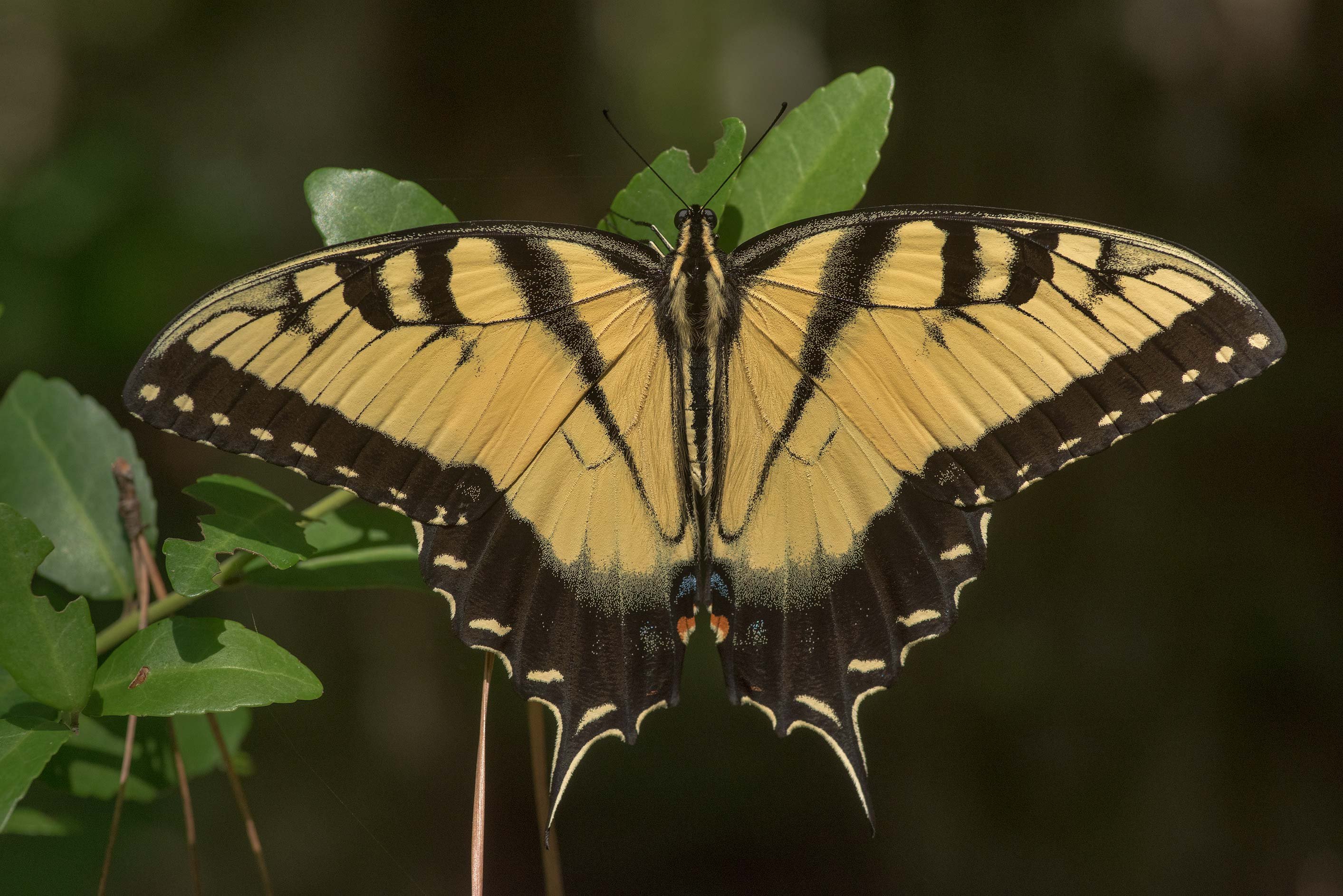 Giant Swallowtail butterfly (Papilio cresphontes...National Forest near Huntsville. Texas