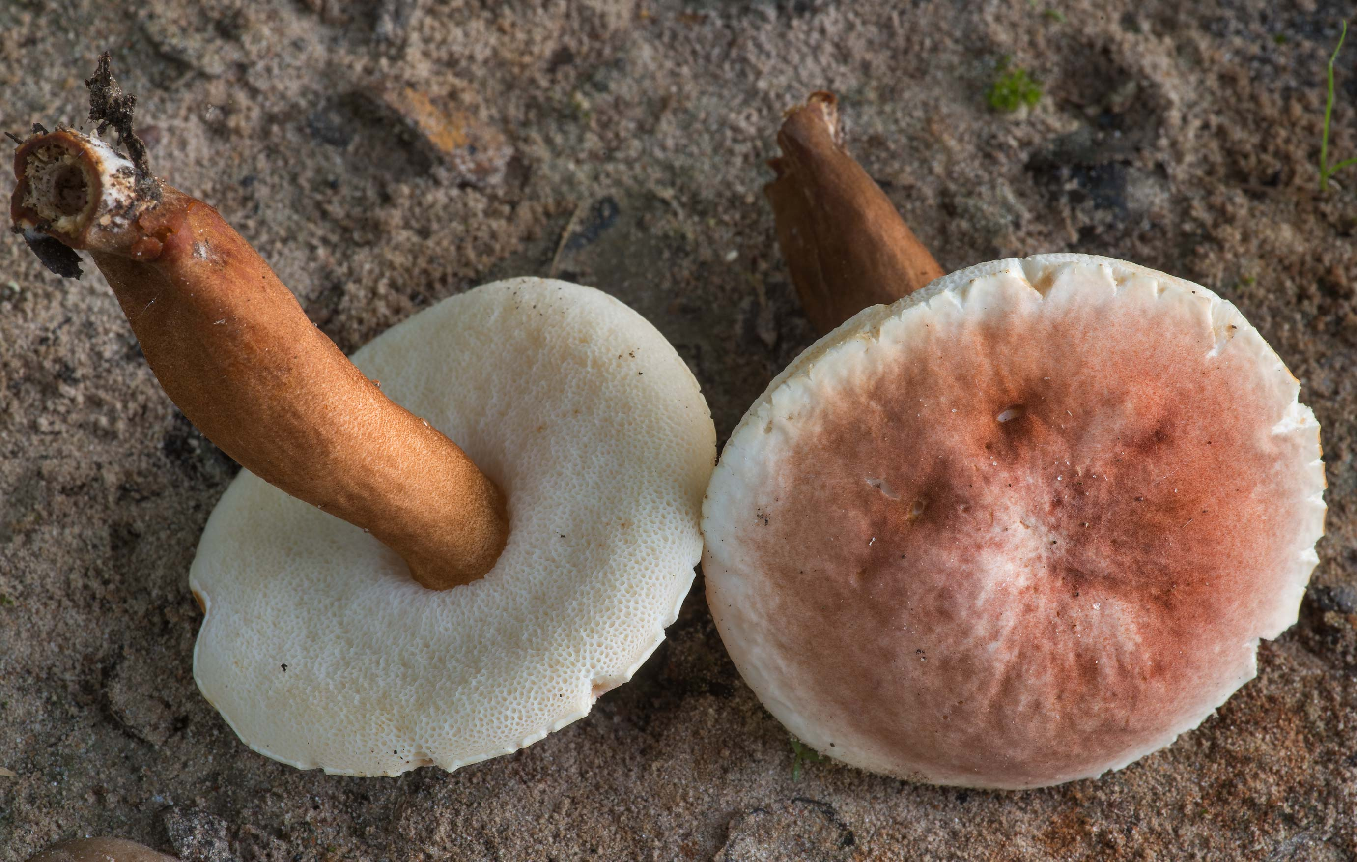Chestnut bolete mushrooms (Gyroporus castaneus...Creek Park. College Station, Texas
