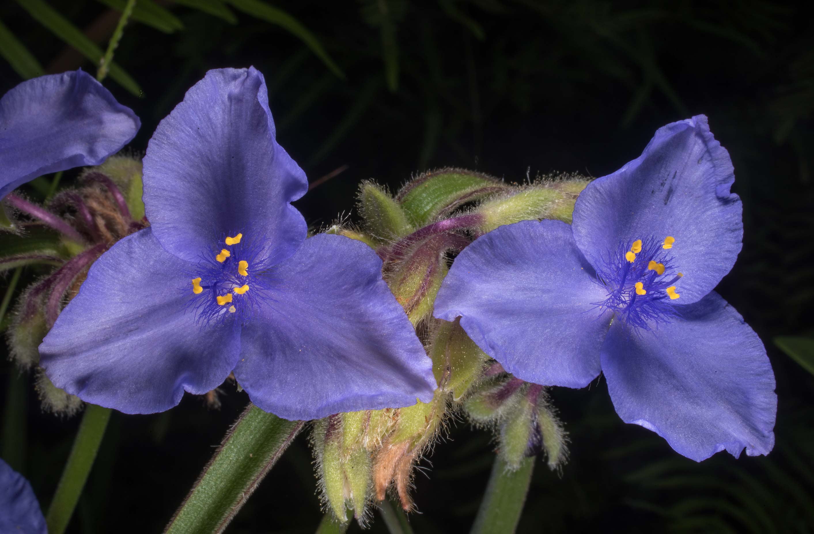 Spiderwort (Tradescantia) on Little Lake Creek...National Forest. Richards, Texas