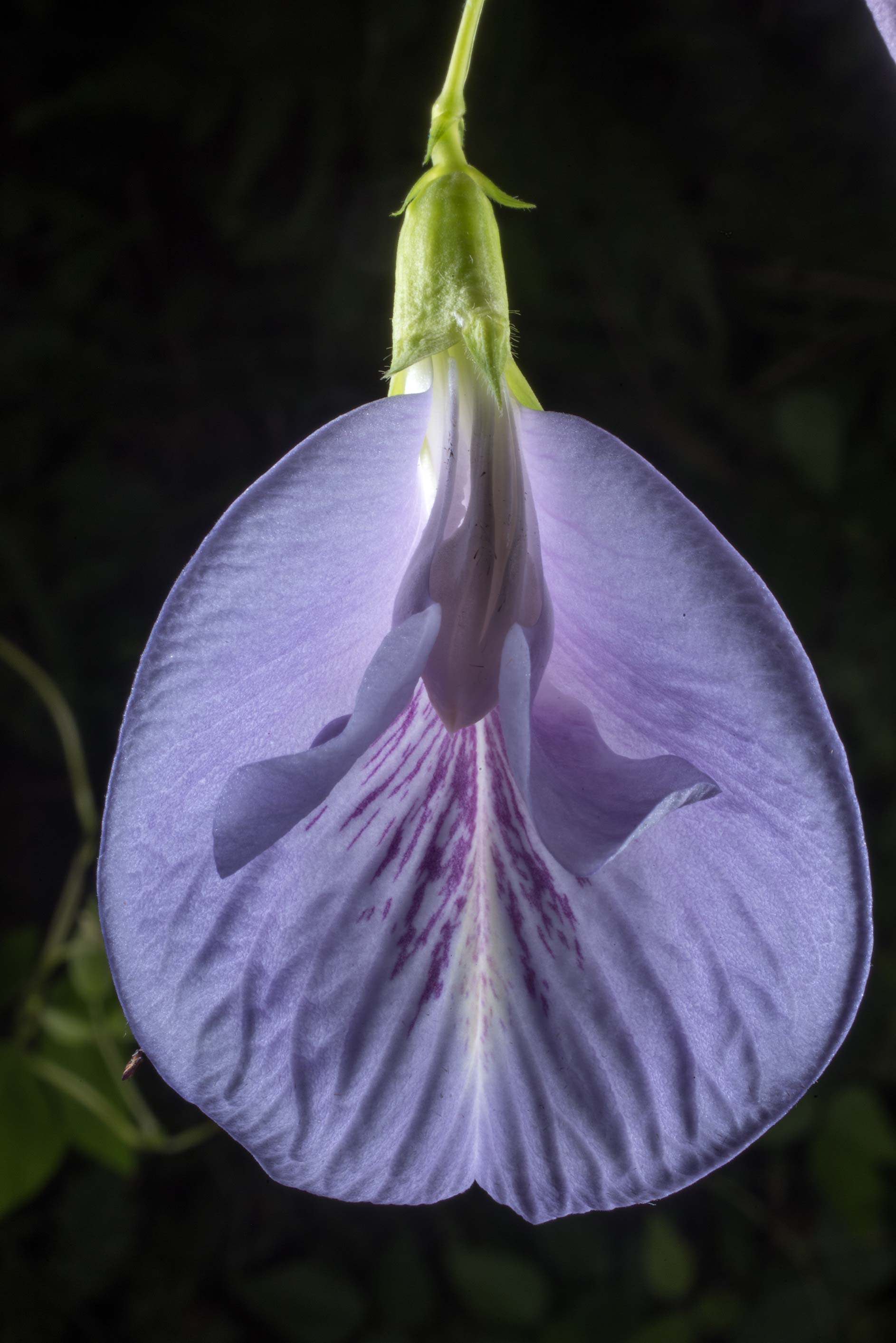 Back lit flower of Pigeon wings (Clitoria mariana...National Forest. Richards, Texas