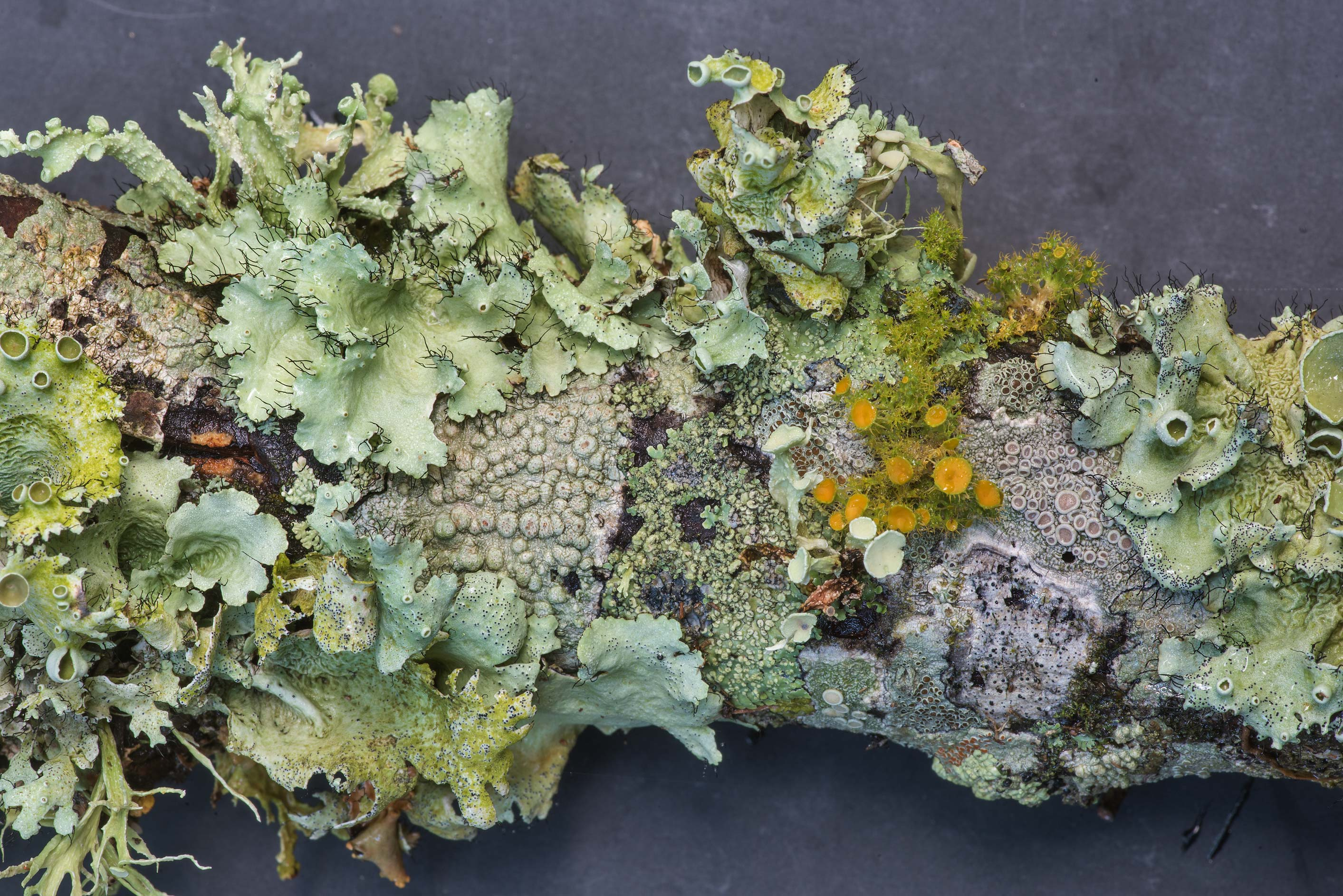 Green and orange foliose lichens on a fallen oak...Creek Park. College Station, Texas