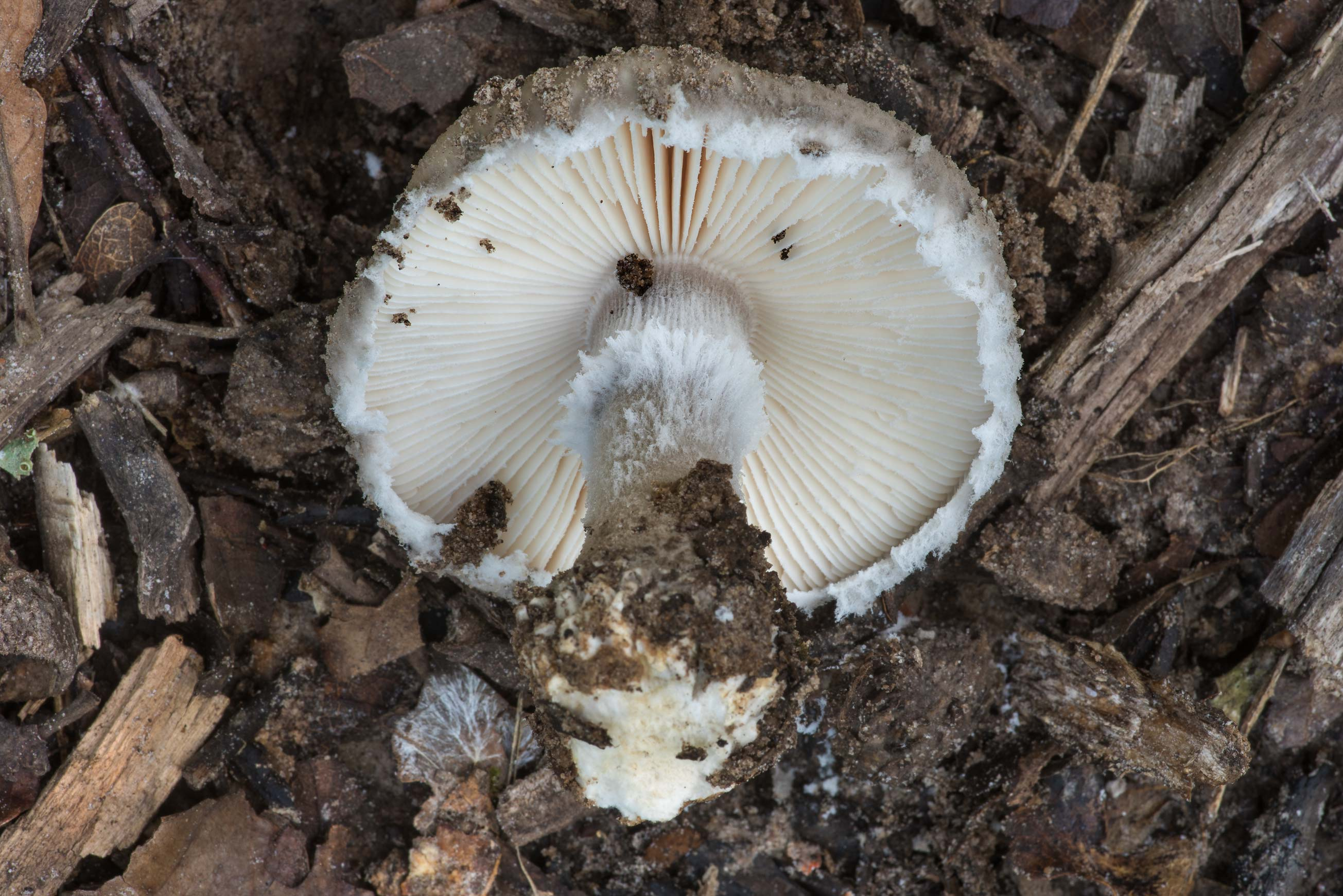 Gills of Gray Dust Lepidella mushroom (Amanita...Creek Park. College Station, Texas