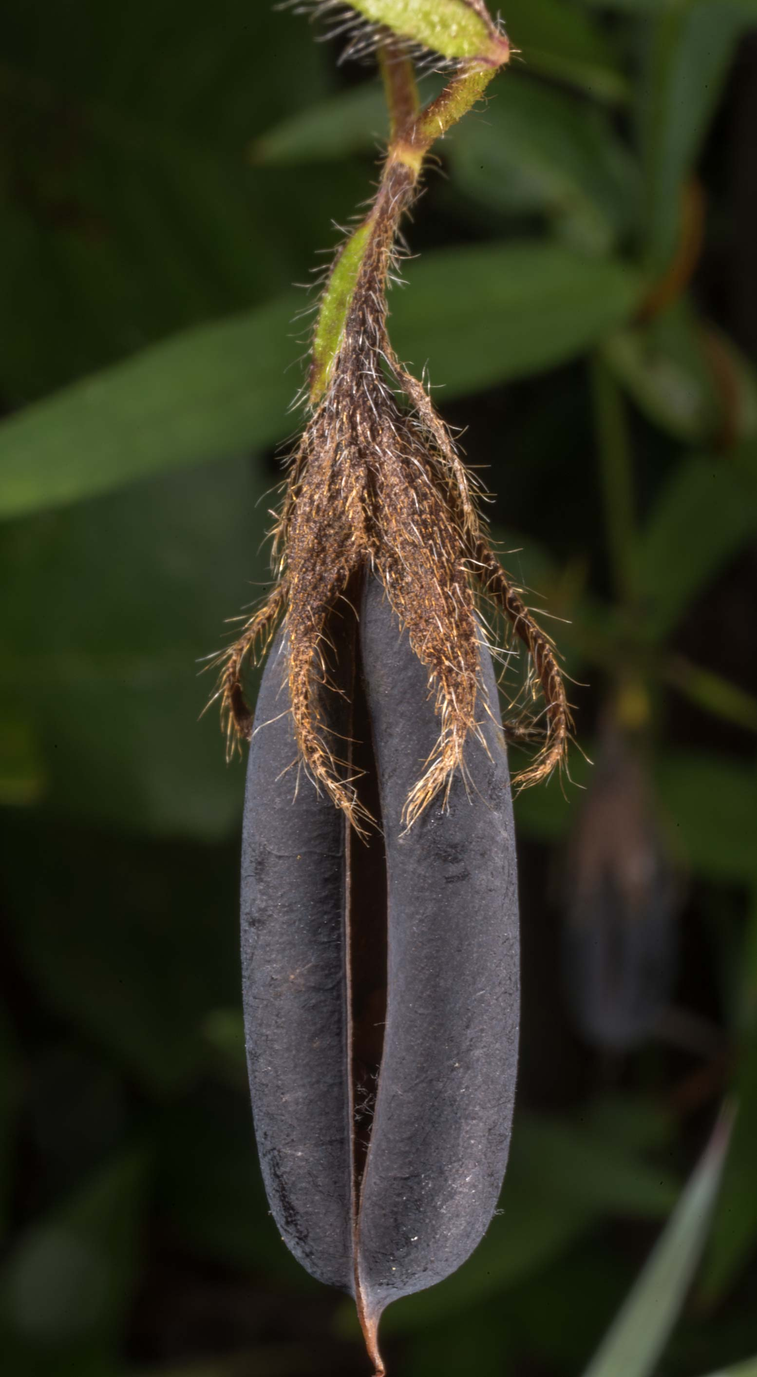 Dark blue seed pod of pea family in Watson Rare Native Plant Preserve. Warren, Texas