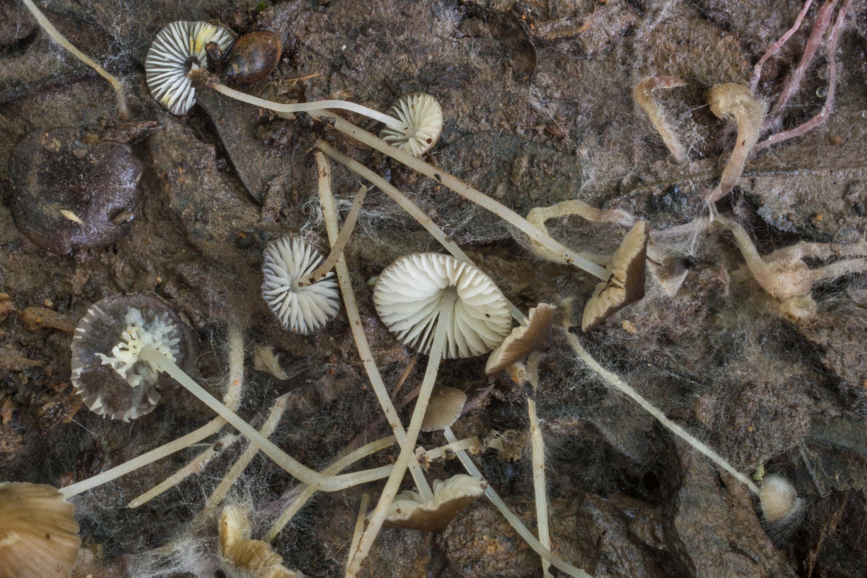 Mycena mushrooms in a wet area in Lick Creek Park. College Station, Texas