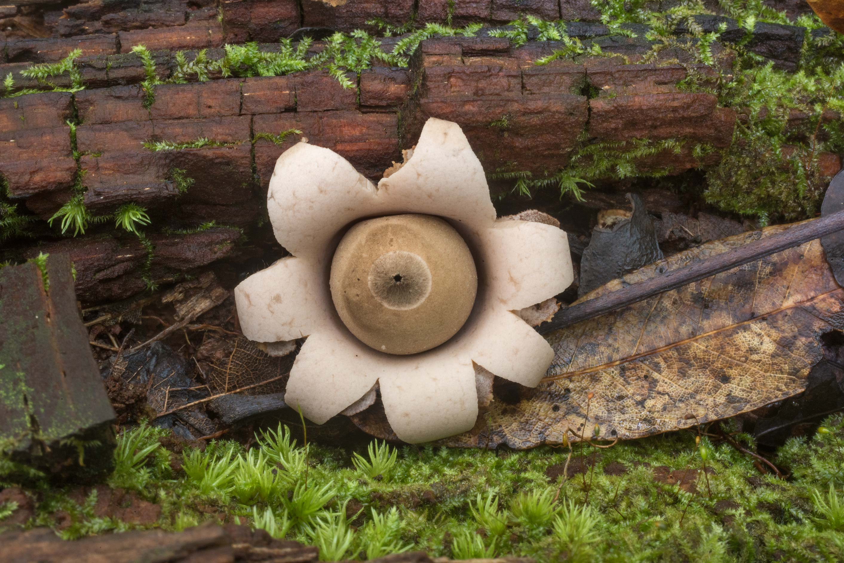 Earthstar mushroom Geastrum saccatum on rotting...National Forest. Shepherd, Texas