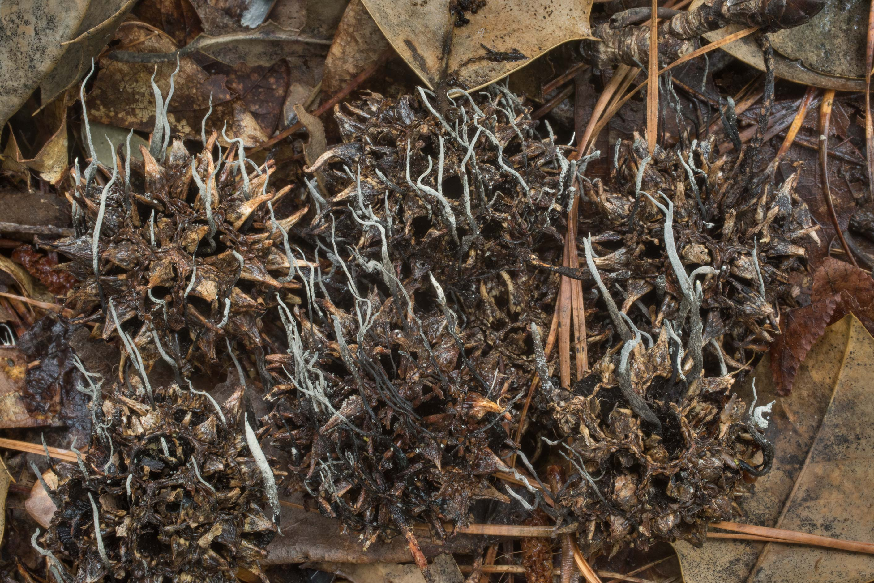Sweet gum fruit fungus Xylaria liquidambaris in...National Forest. Shepherd, Texas