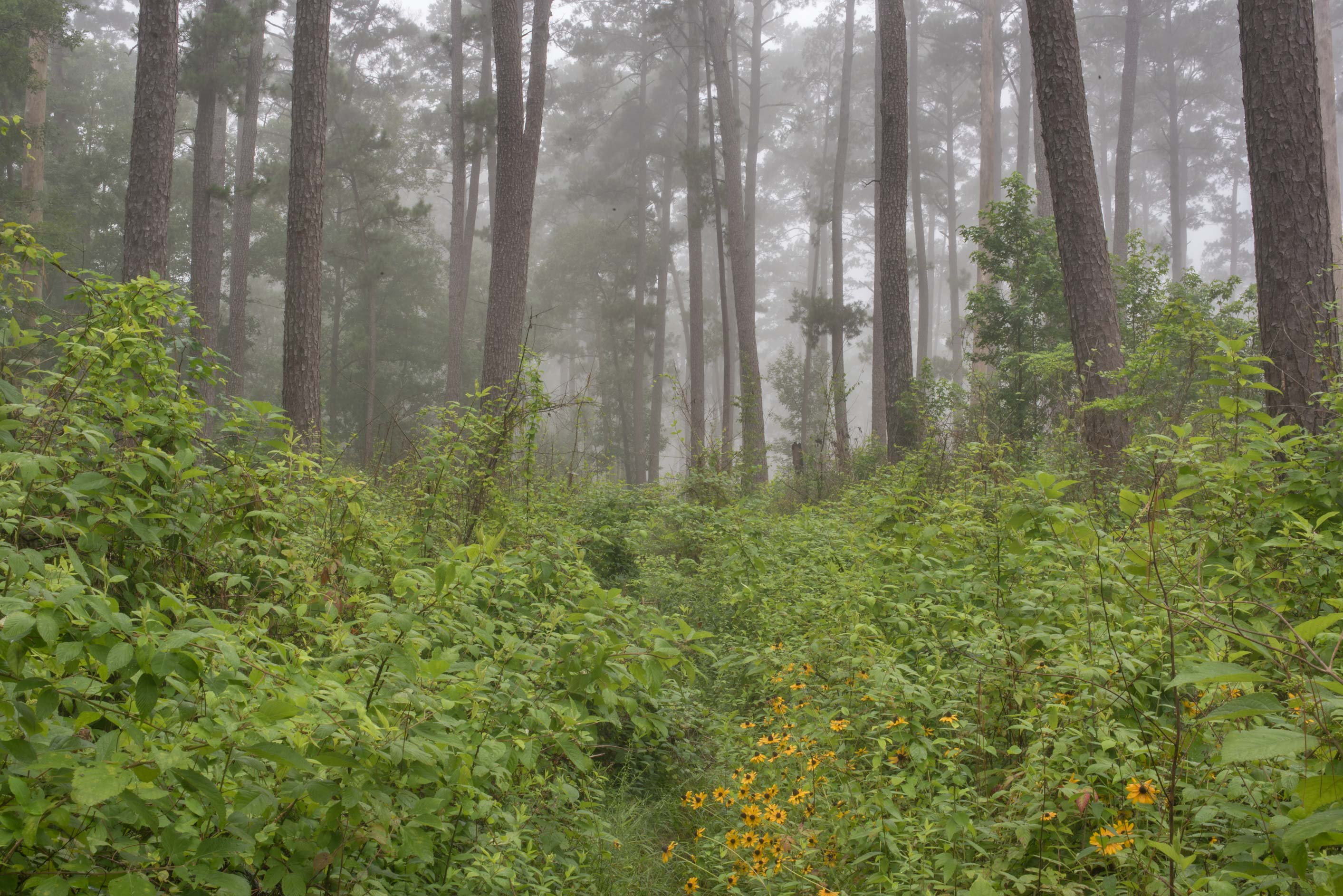 Lone Star Hiking Trail near Osborn Rd. in mist in...Forest, north from Montgomery. Texas