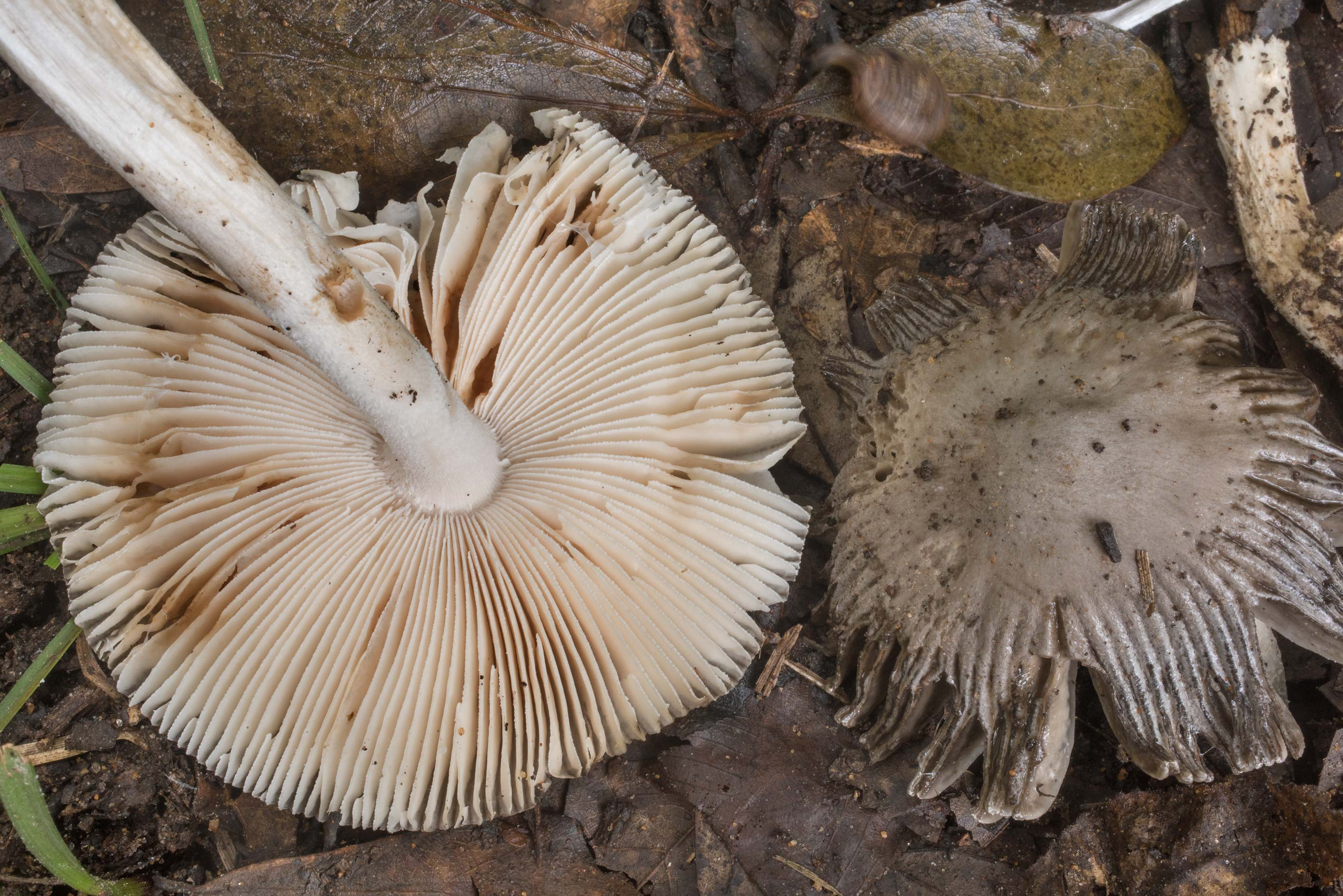 Underside of pale grey grisette mushrooms...Creek Park. College Station, Texas