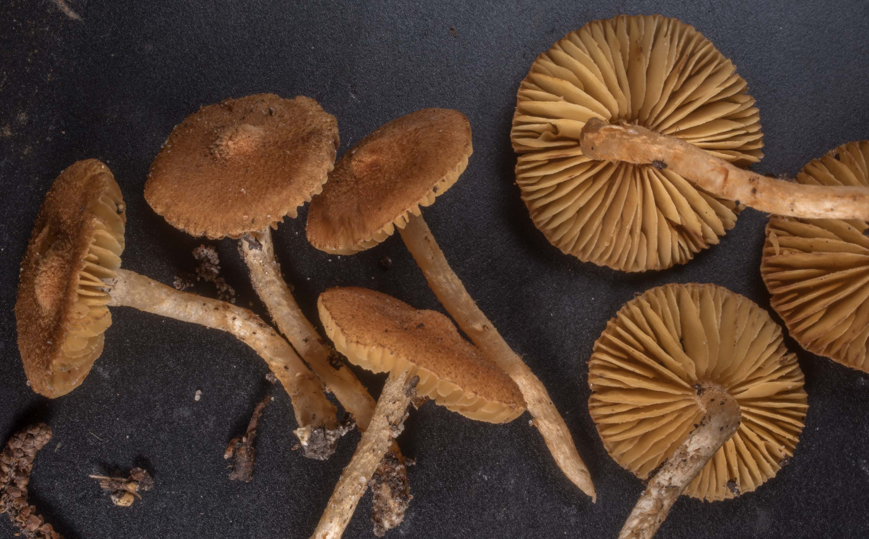 Fibrecap mushrooms (Inocybe) in a pine forest on...National Forest. Richards, Texas