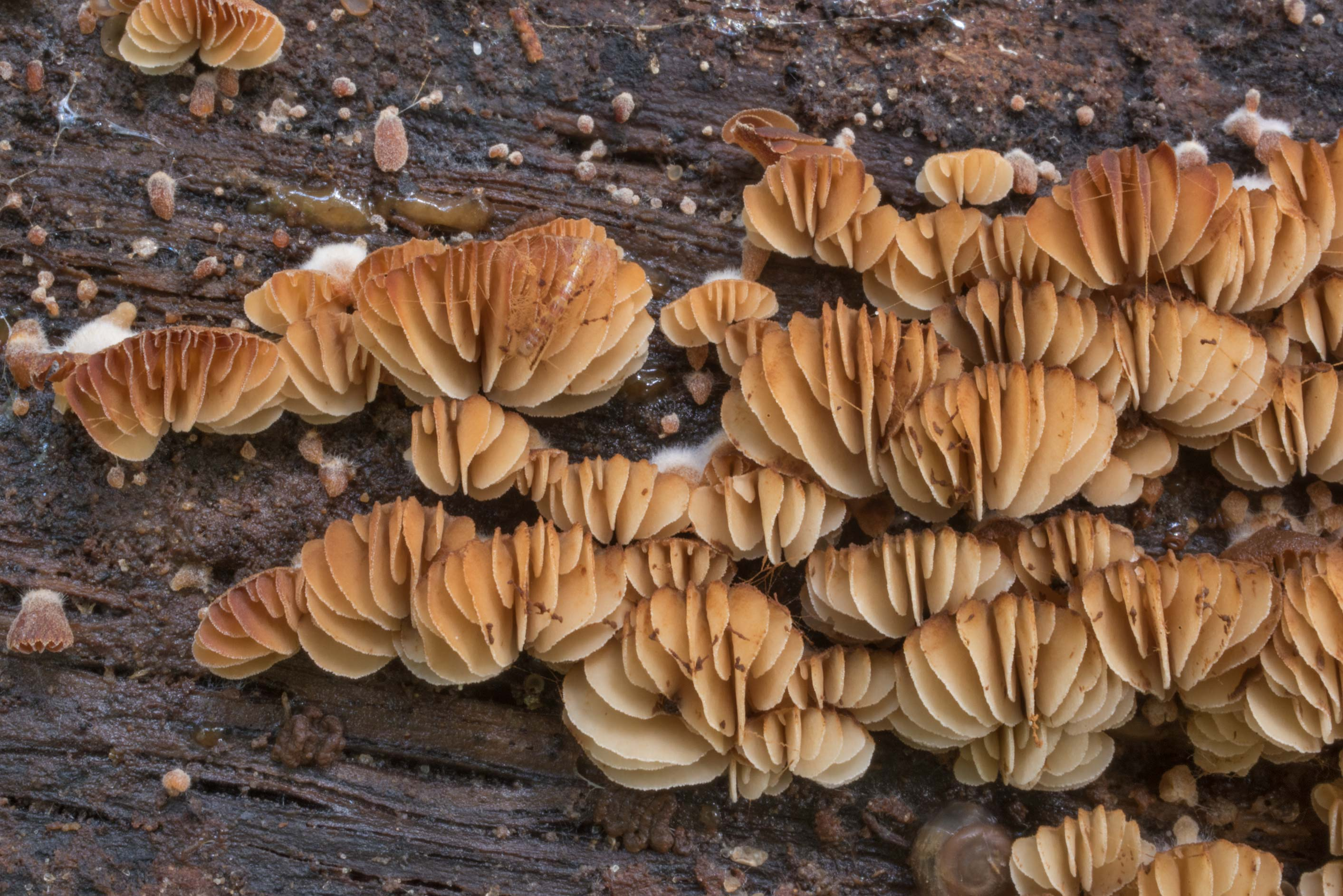 Close up of oysterling mushrooms Crepidotus on a...Nature Trail. College Station, Texas