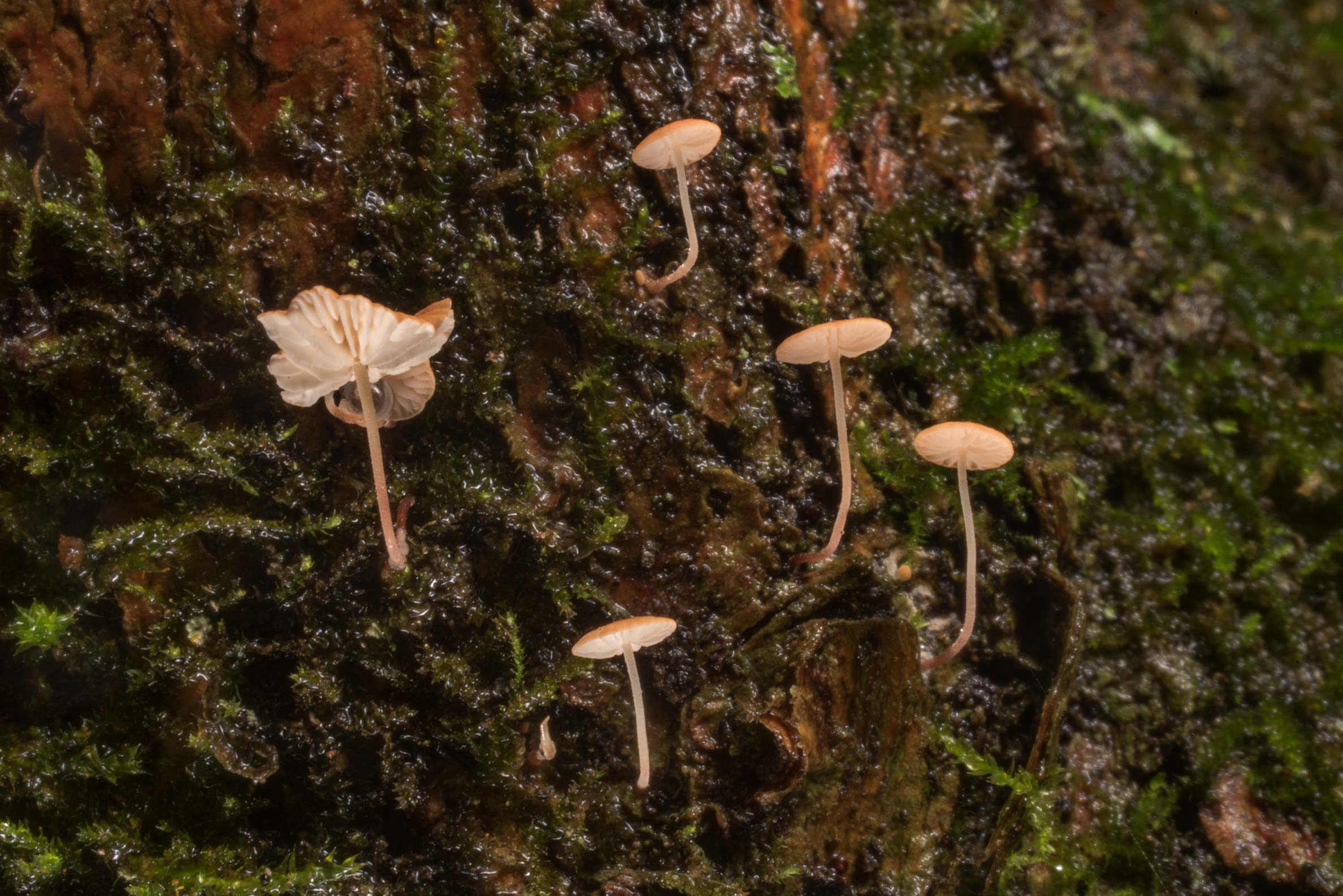Small Marasmiaceae mushrooms on a mossy tree on...Forest north from Montgomery. Texas