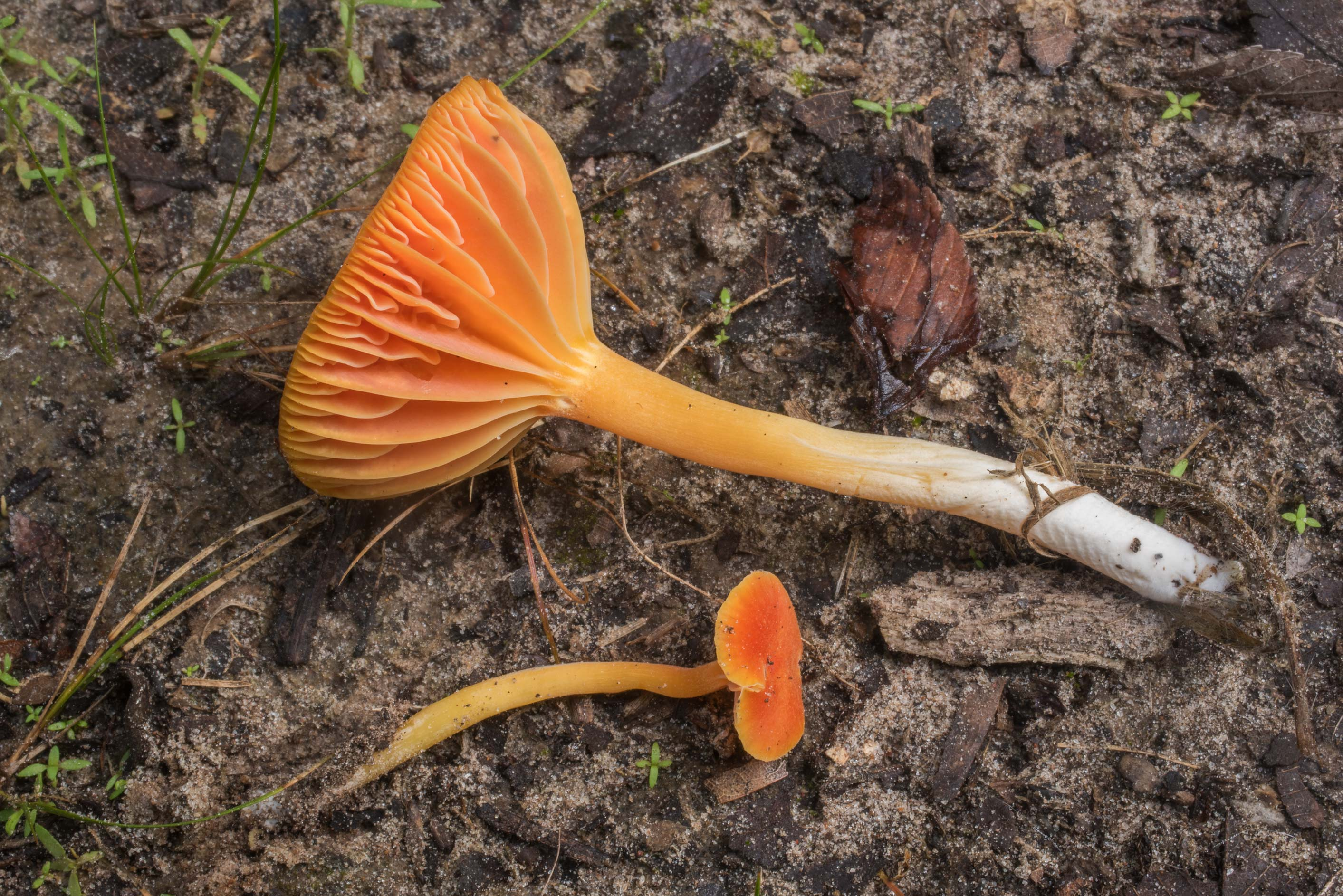 Orange waxcap (Hygrocybe) or may be Humidicutis...Creek Park. College Station, Texas