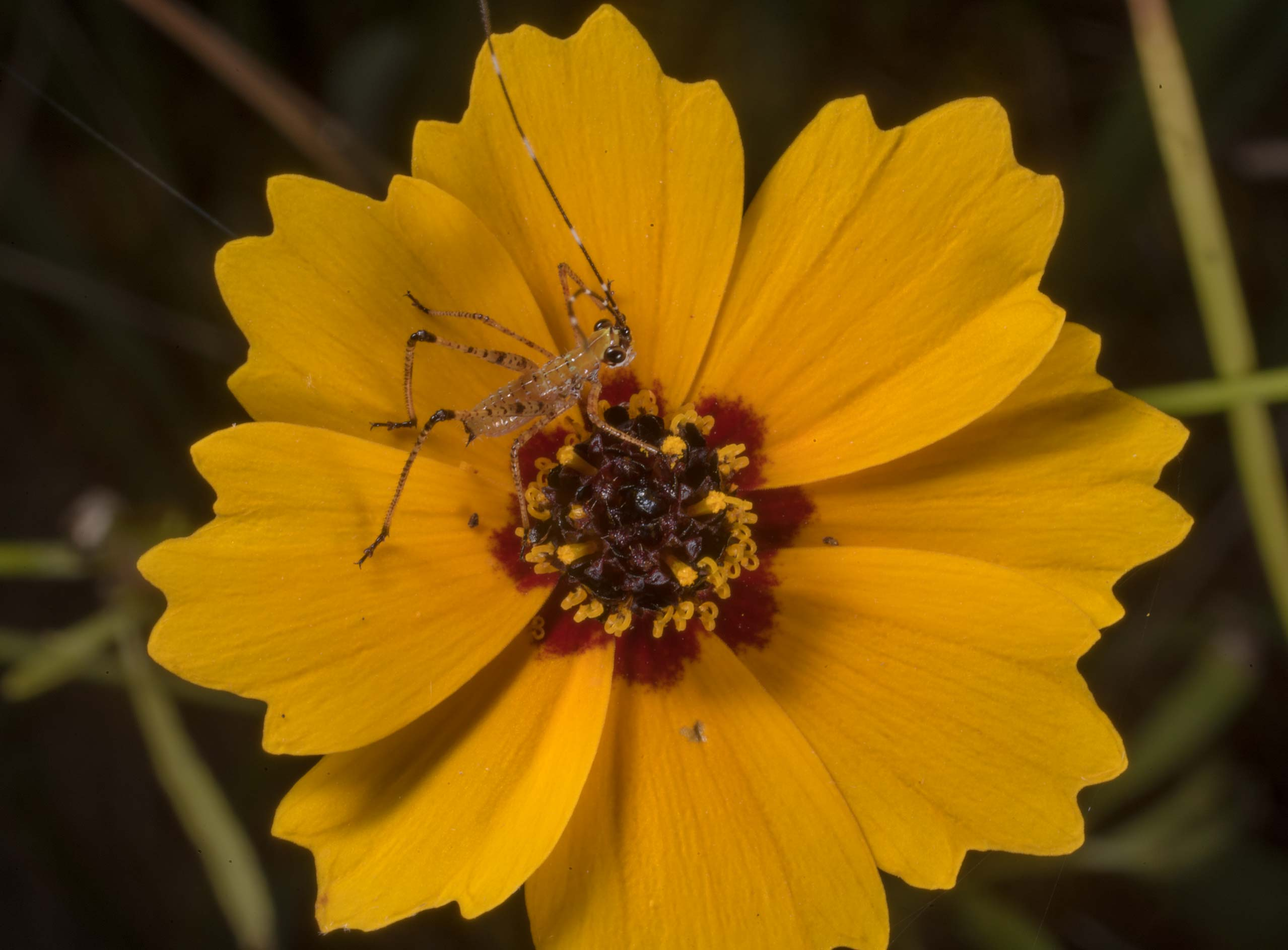 Coreopsis flower with a katydid nymph at Lake...of Somerville Lake State Park. Texas