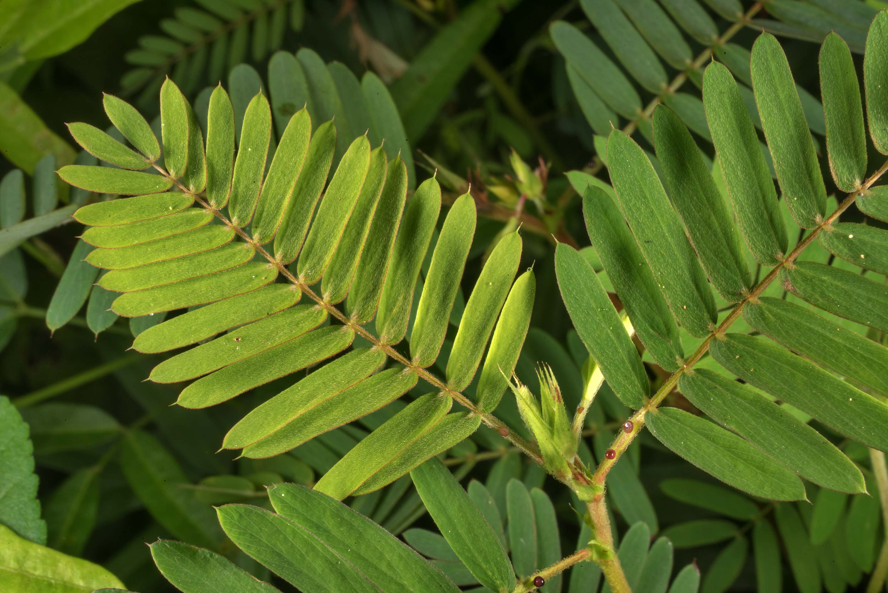 Leaves of Partridge pea (Cassia fasciculata) on...National Forest. Richards, Texas