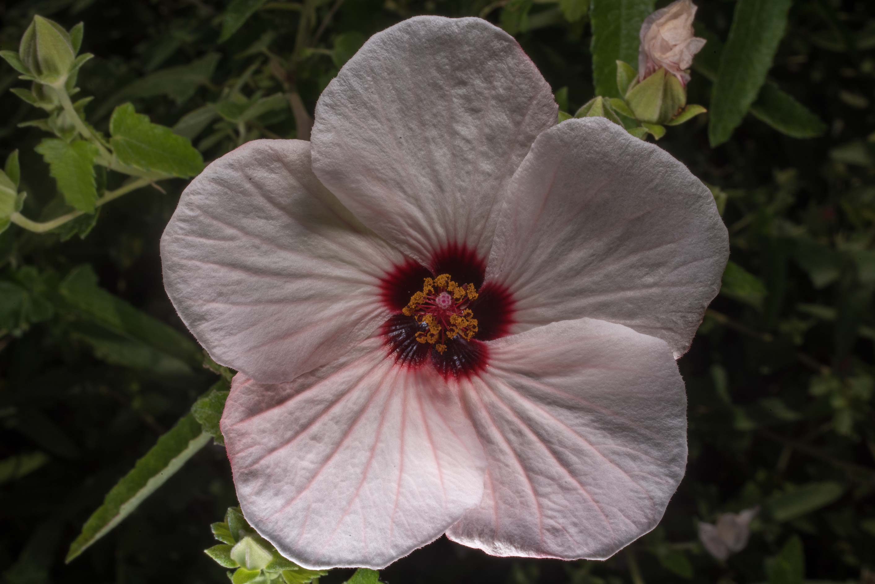 Pink flower of mallow (Hibiscus) in Antique Rose Emporium. Independence, Texas