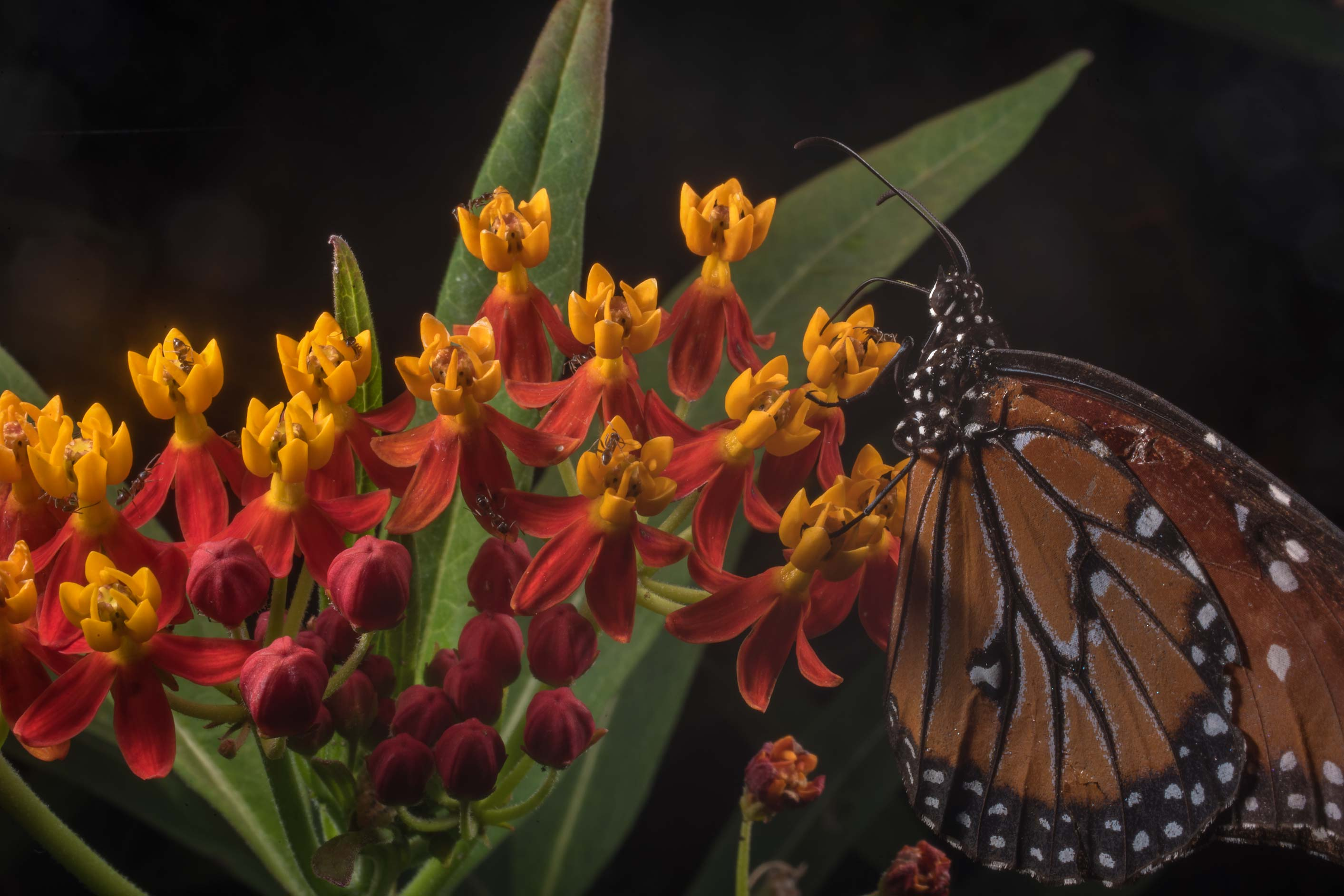 Monarch butterfly on red milkweed (Asclepias) in...Rose Emporium. Independence, Texas