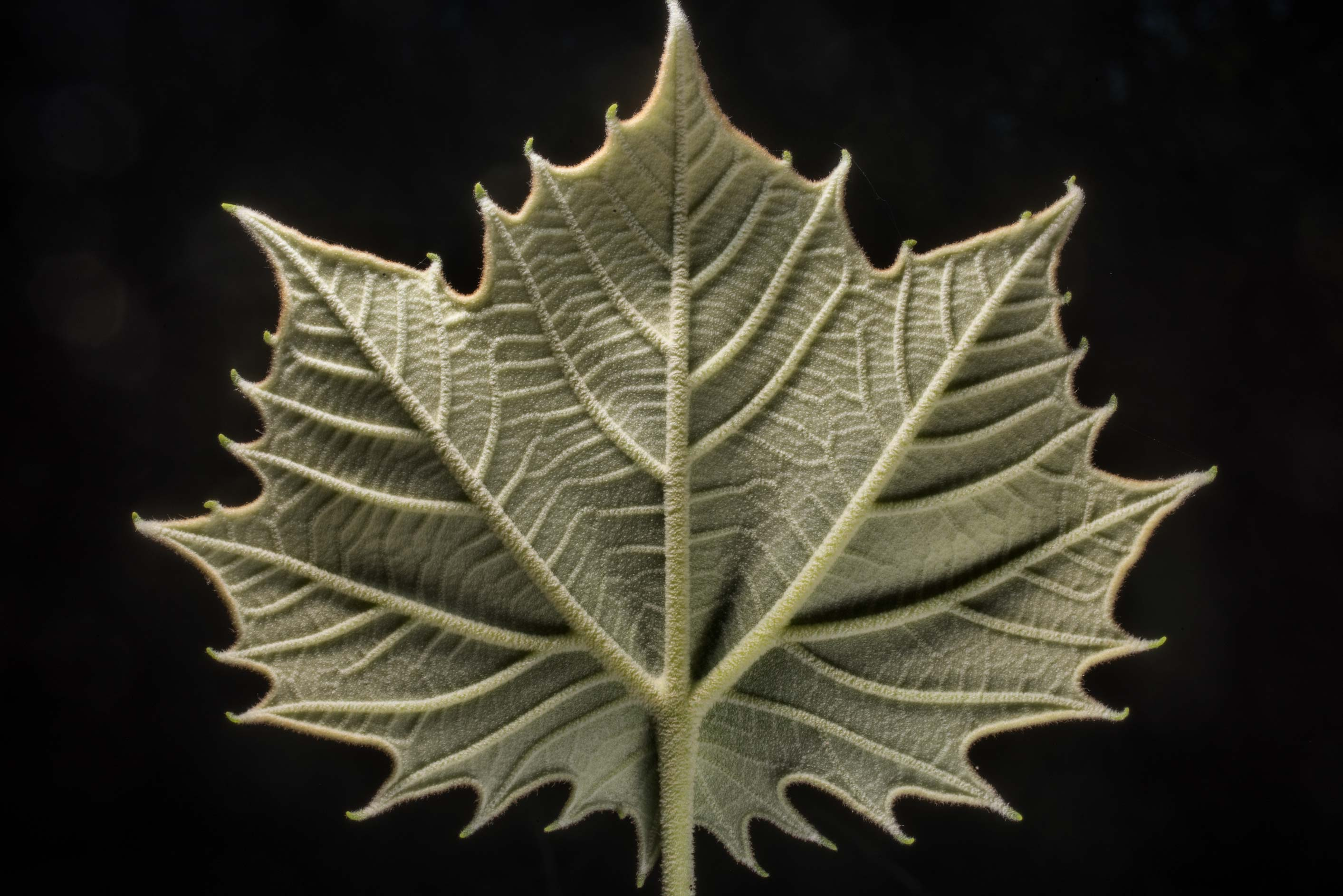 Underside of a young sycamore leaf in Lick Creek Park. College Station, Texas