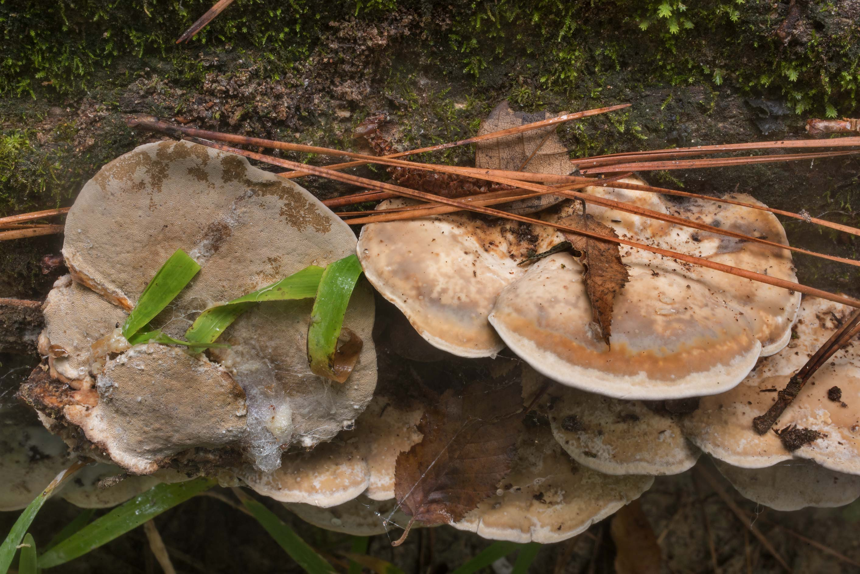 Polypore mushrooms Leiotrametes lactinea...Forest north from Montgomery. Texas