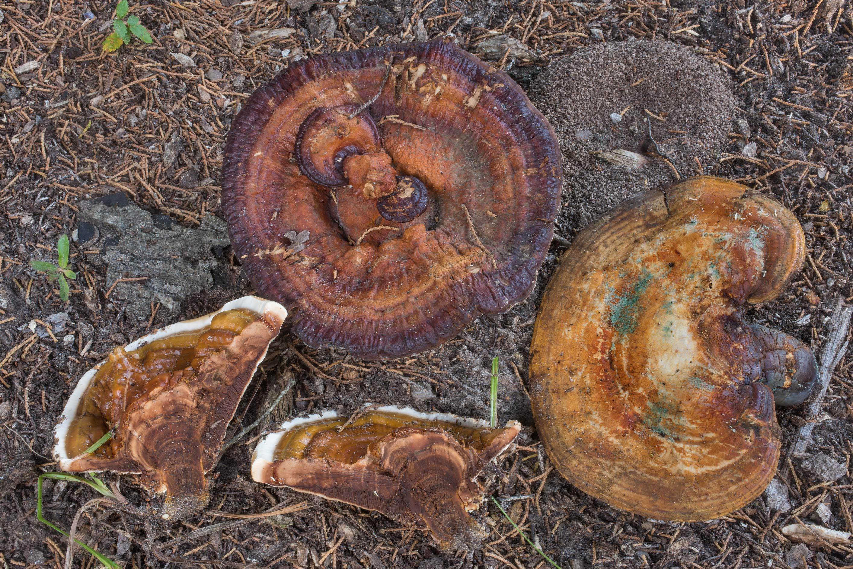 Dissected polypore mushroom Ganoderma sessile in...Cemetery. College Station, Texas