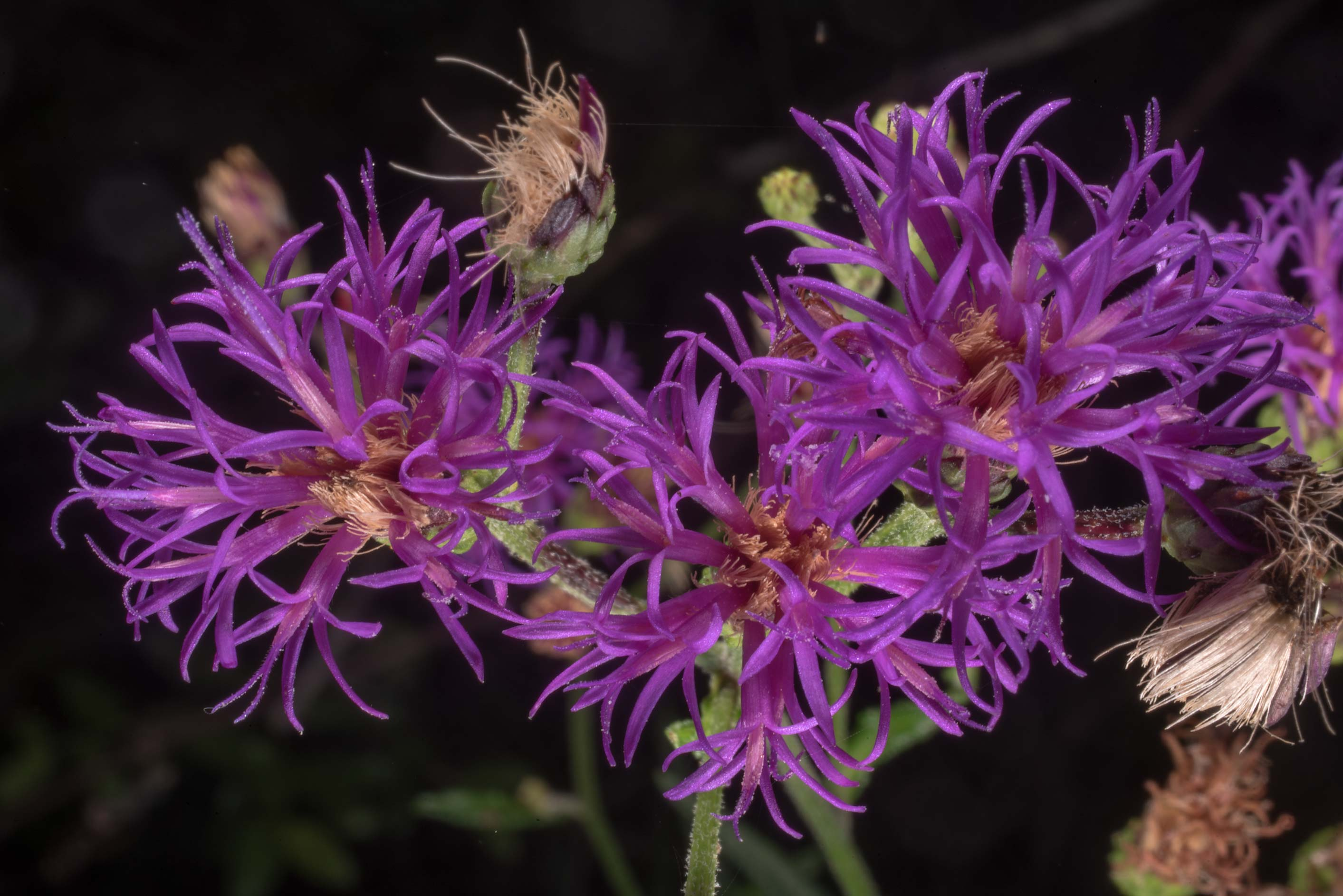 Western ironweed (Vernonia baldwini) on Lone Star...National Forest. Richards, Texas