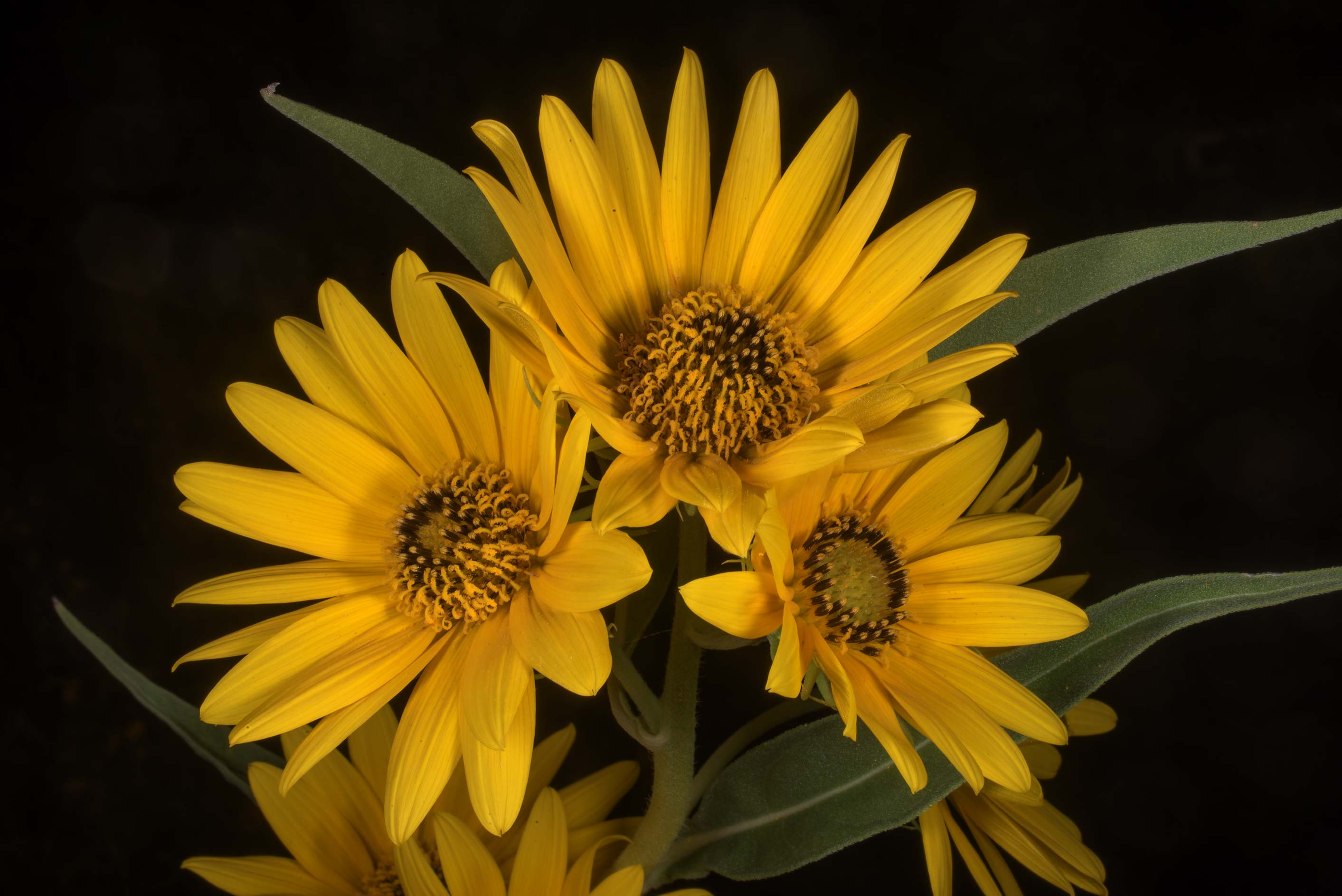 Maximilian sunflower (Helianthus maximiliani) in...Ashburn St.. College Station, Texas