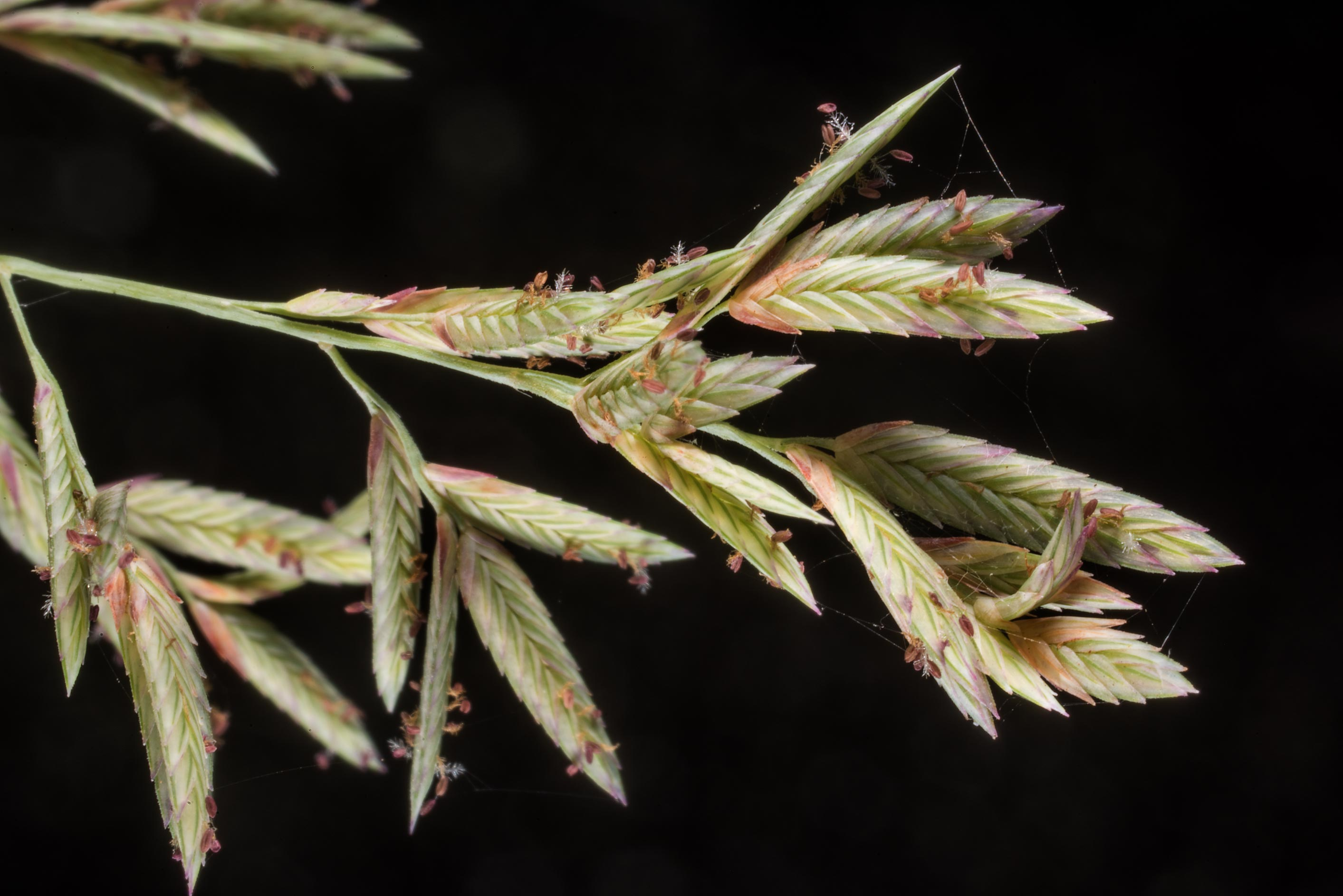 Close up of red lovegrass (Eragrostis...Creek Park. College Station, Texas