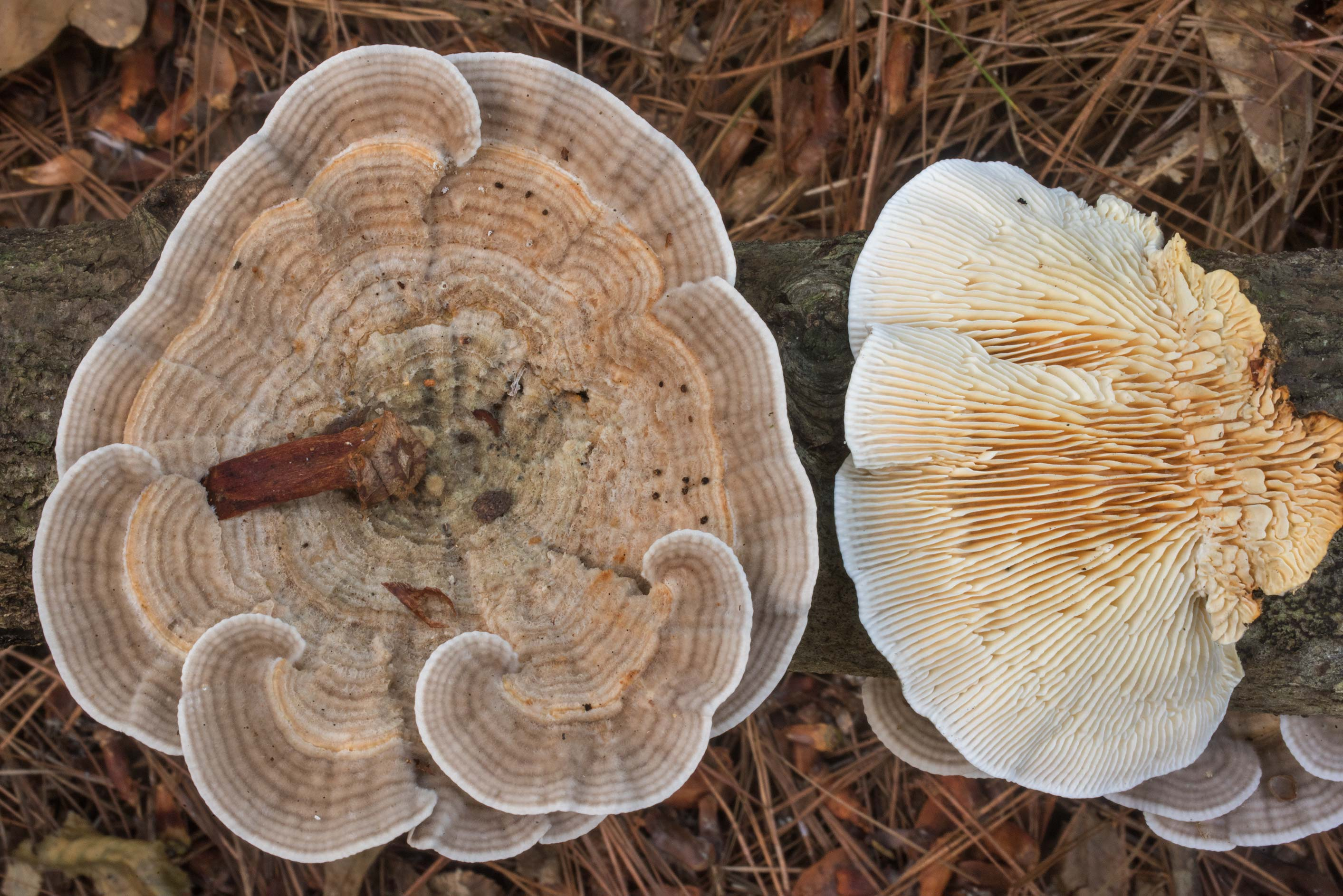 Birch mazegill mushrooms (Lenzites betulina) on a...National Forest. Cleveland, Texas