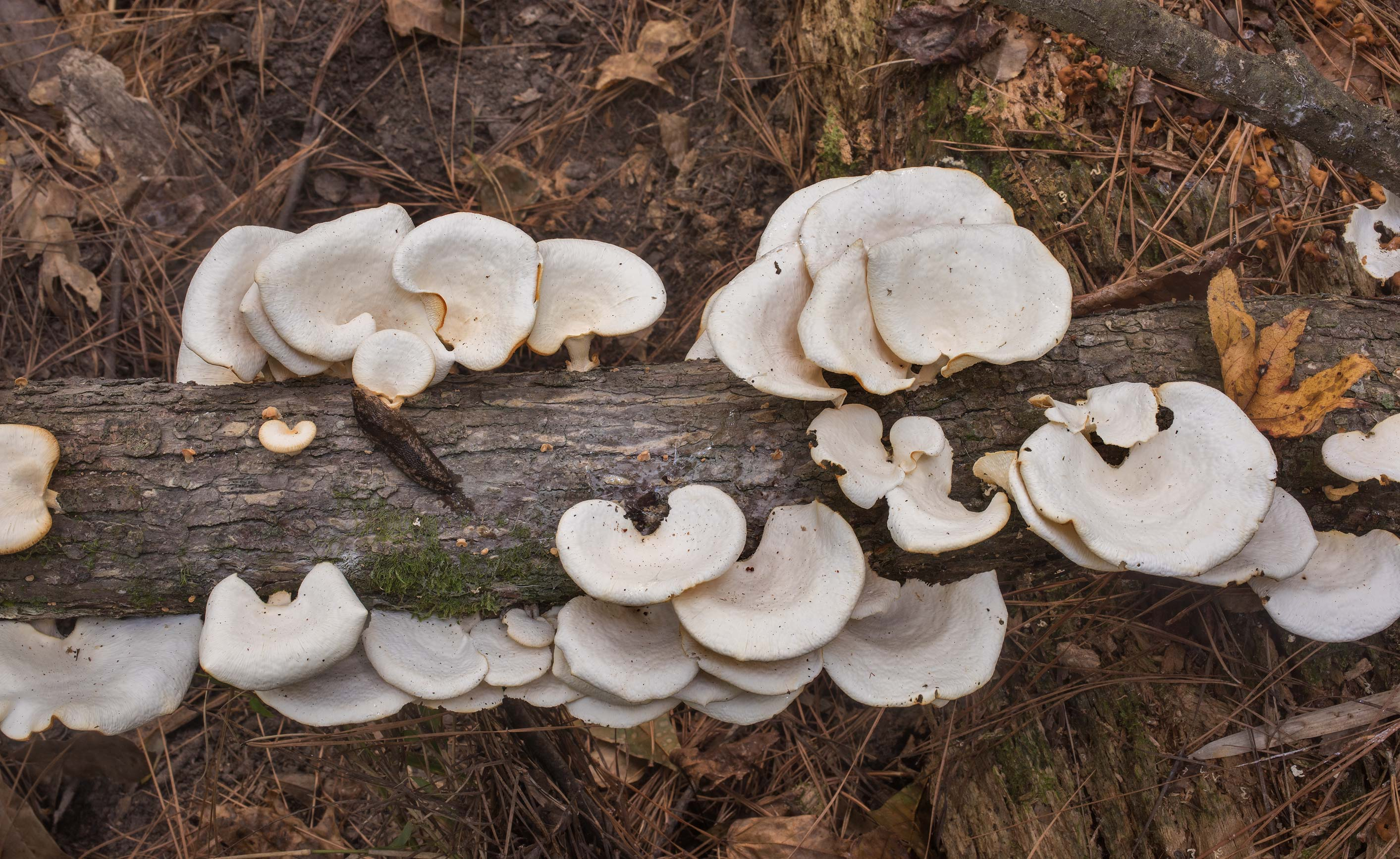 Tropical white polypore mushrooms (Favolus...Forest north from Montgomery. Texas