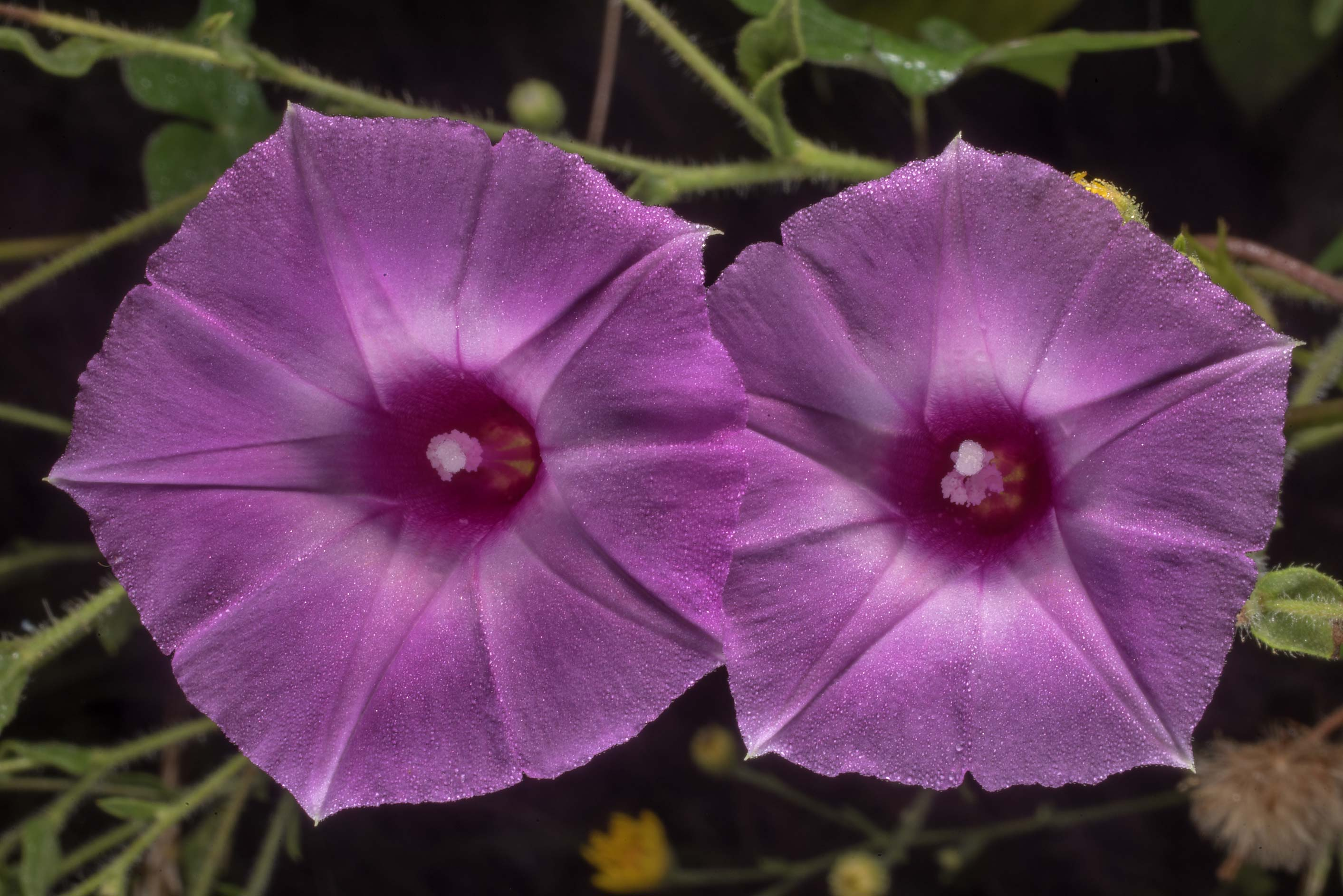 Flowers of Morning glory (tievine, Ipomoea...State Historic Site. Washington, Texas