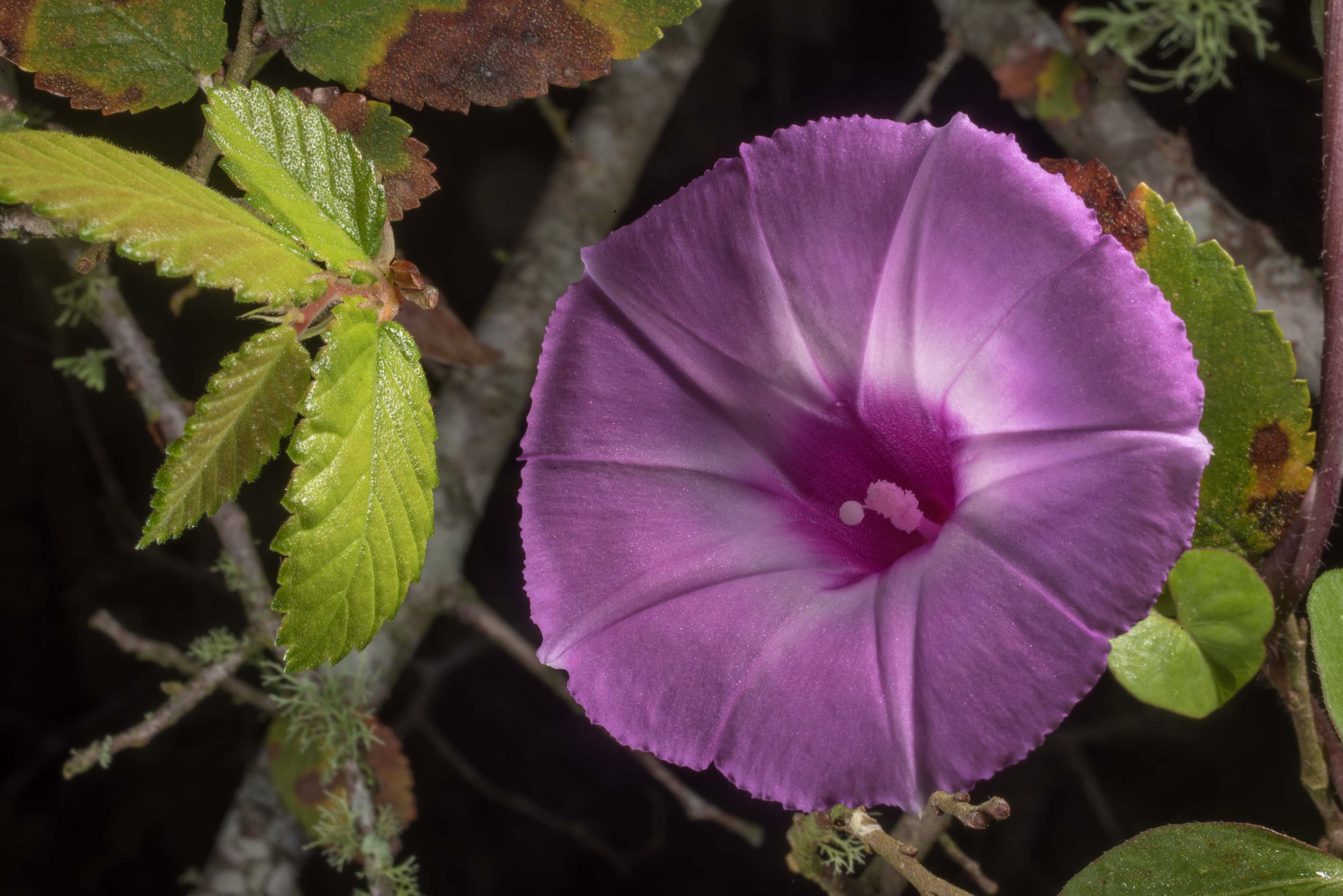 Flower of Morning glory (tievine, Ipomoea...State Historic Site. Washington, Texas