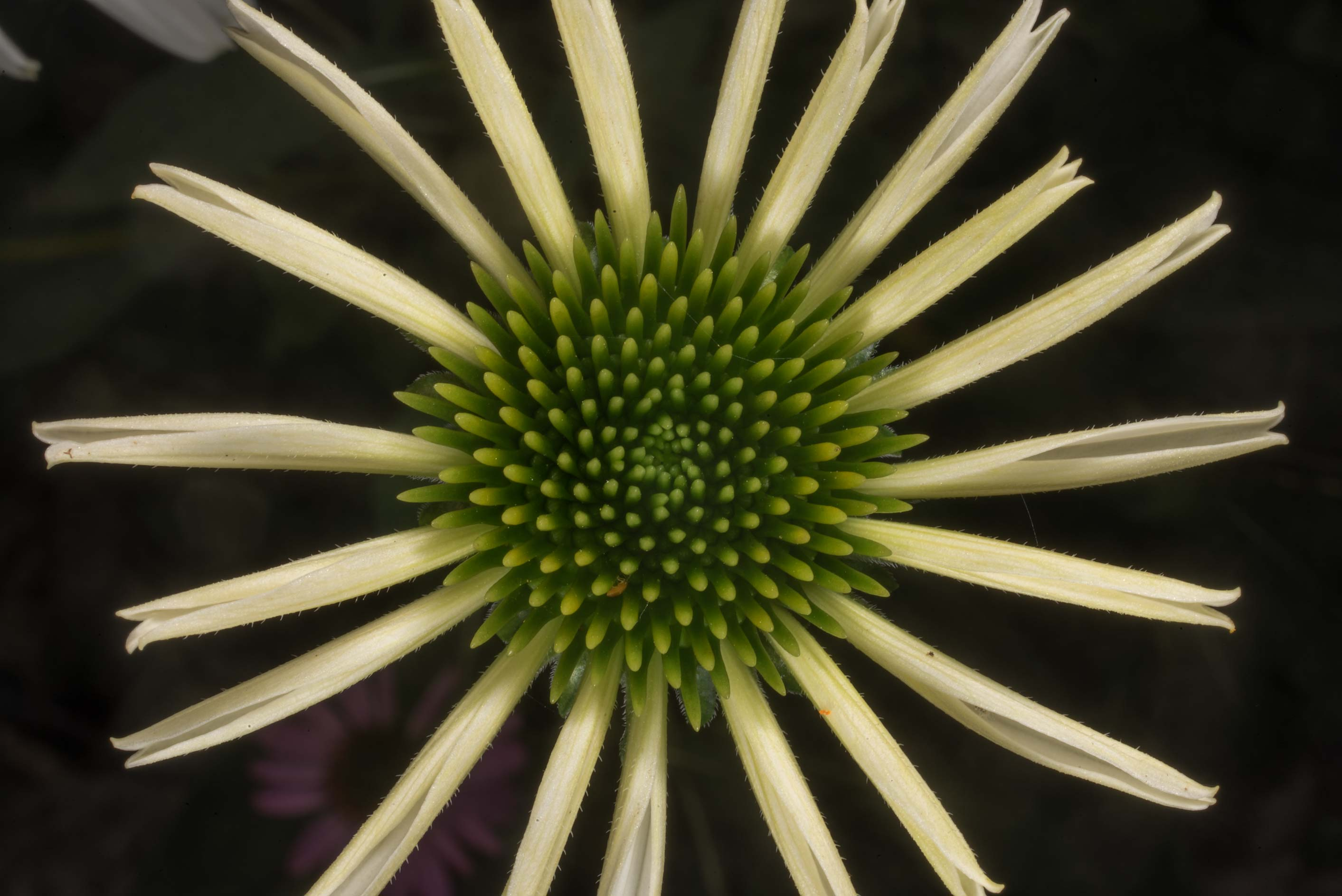 Immature yellow coneflower in Antique Rose Emporium. Independence, Texas