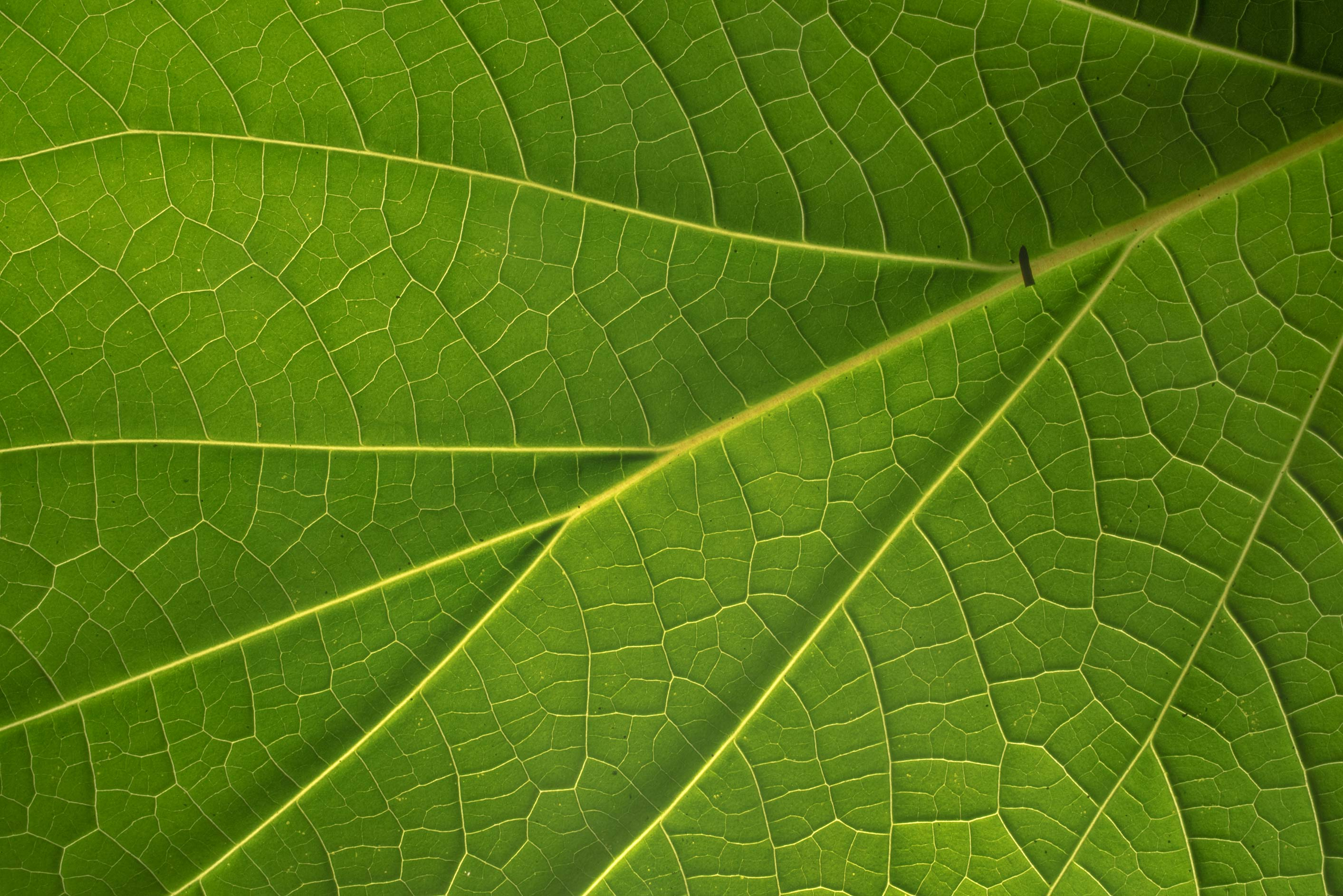Venation of a broad leaf of Catalpa in Antique Rose Emporium. Independence, Texas