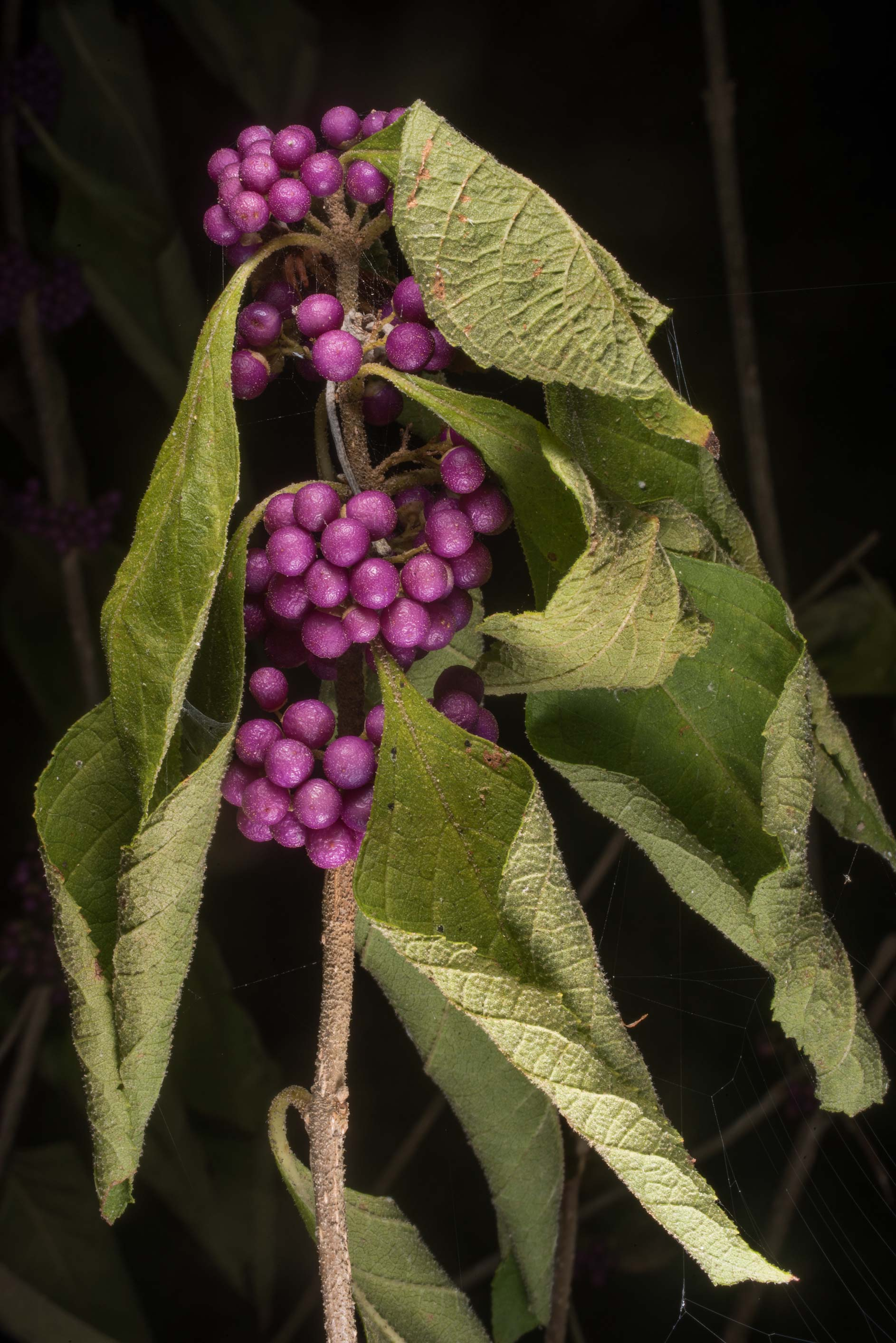 Wilted beautyberry (Callicarpa americana) at Lake...of Somerville Lake State Park. Texas