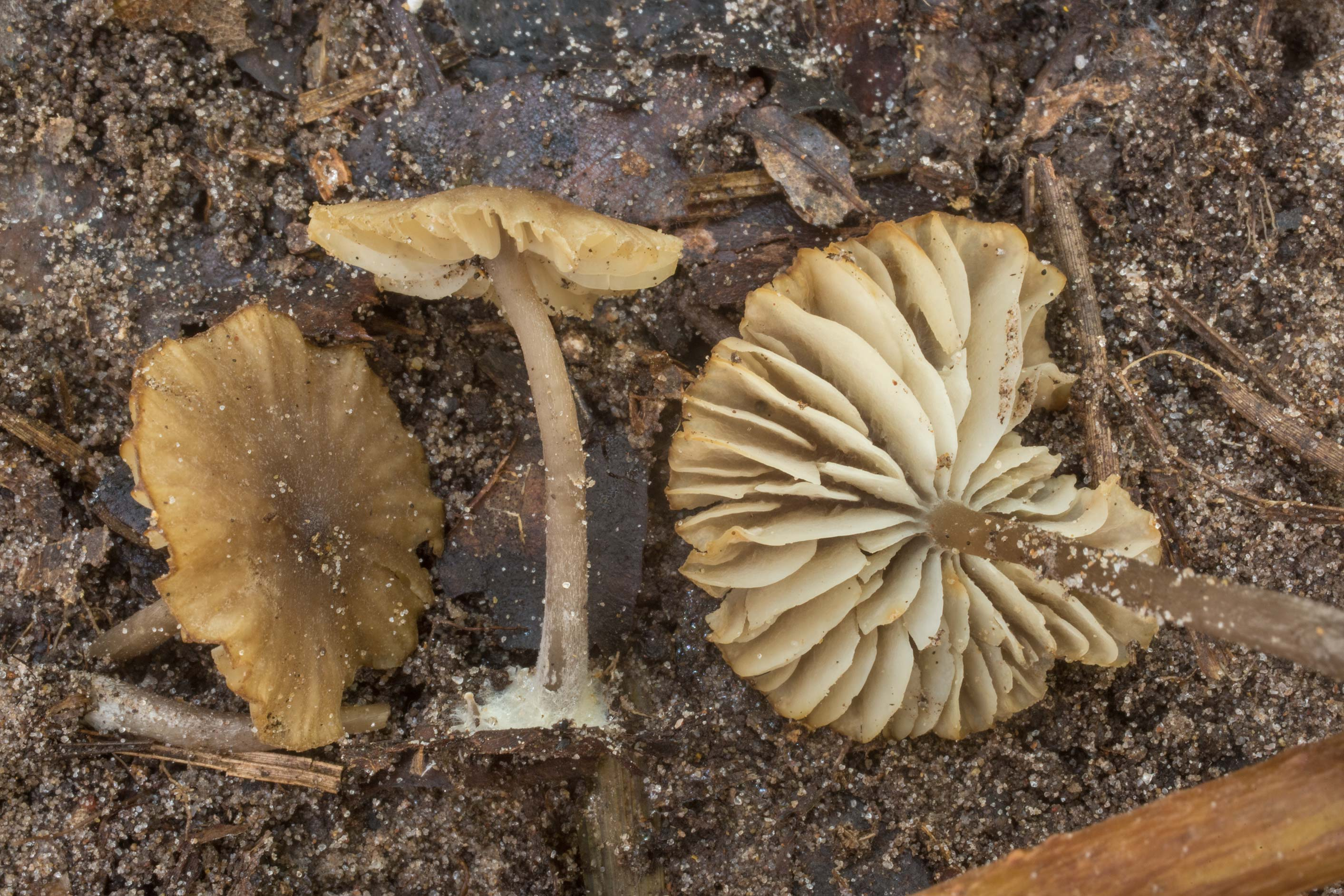 Gills of Neohygrocybe mushrooms on Winters Bayou...National Forest. Cleveland, Texas