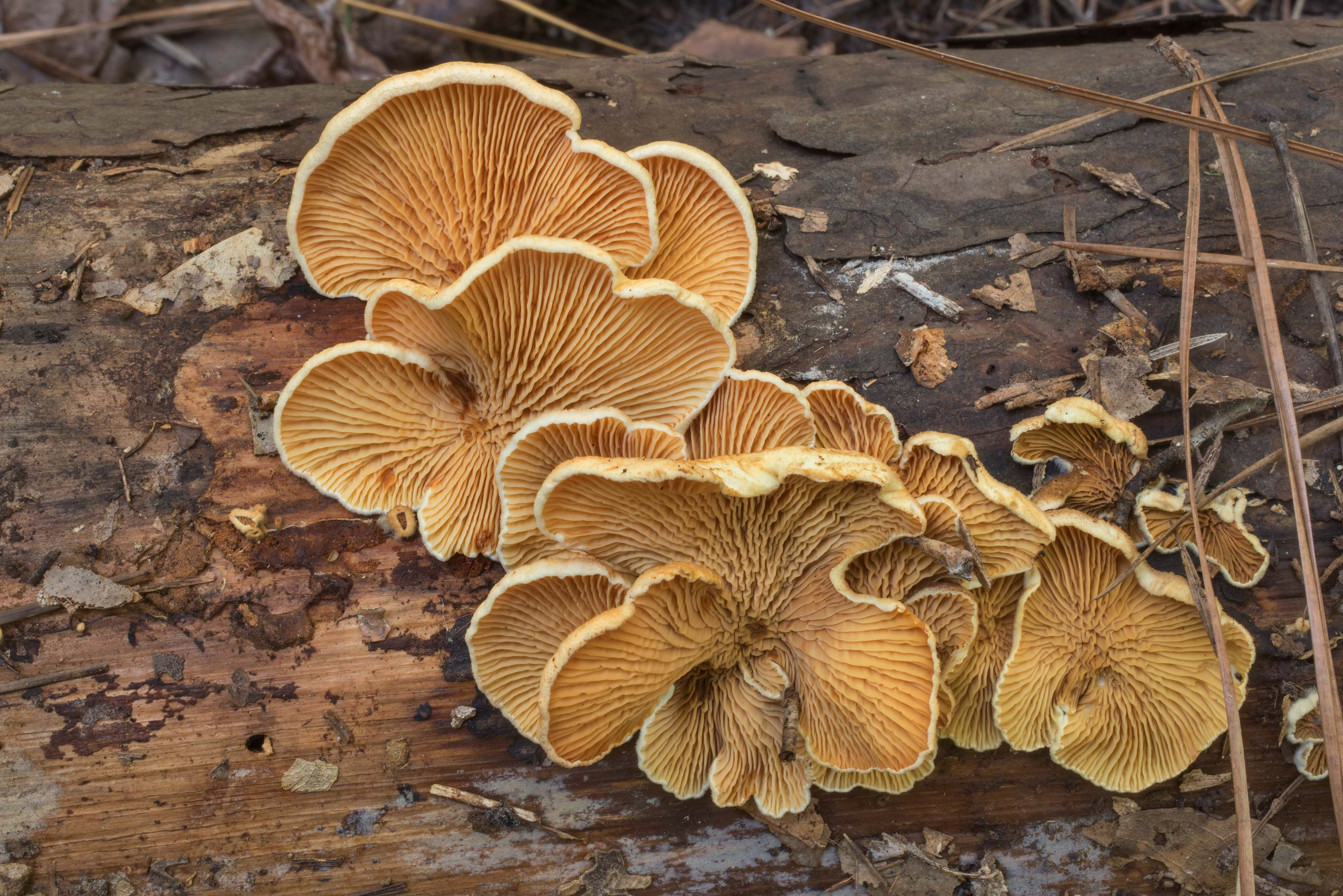 Oyster rollrim mushrooms (Tapinella panuoides) on...National Forest. Cleveland, Texas