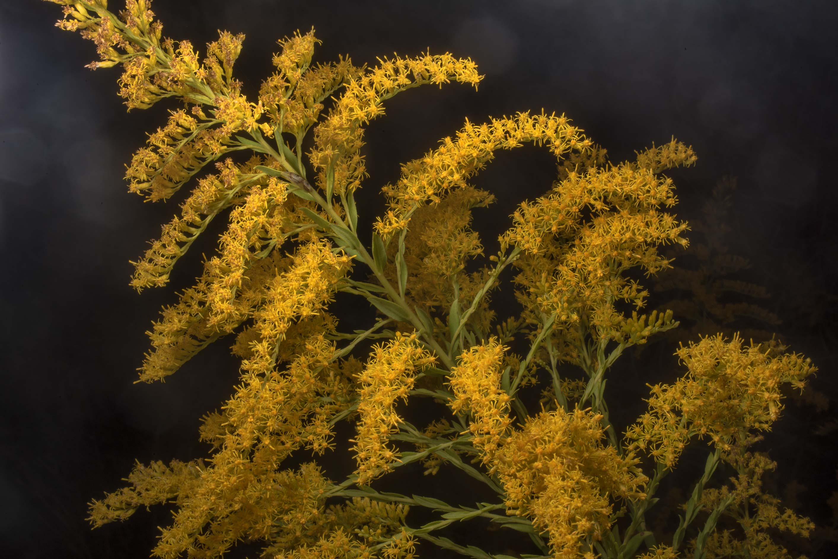 Tall goldenrod (Solidago altissima) in Bastrop State Park. Bastrop, Texas
