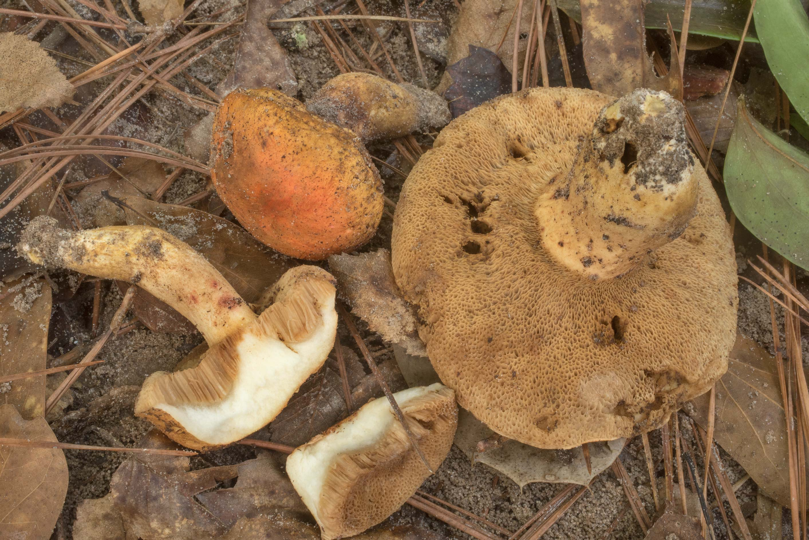 Underside of mature burnt orange bolete mushrooms...National Forest. Shepherd, Texas