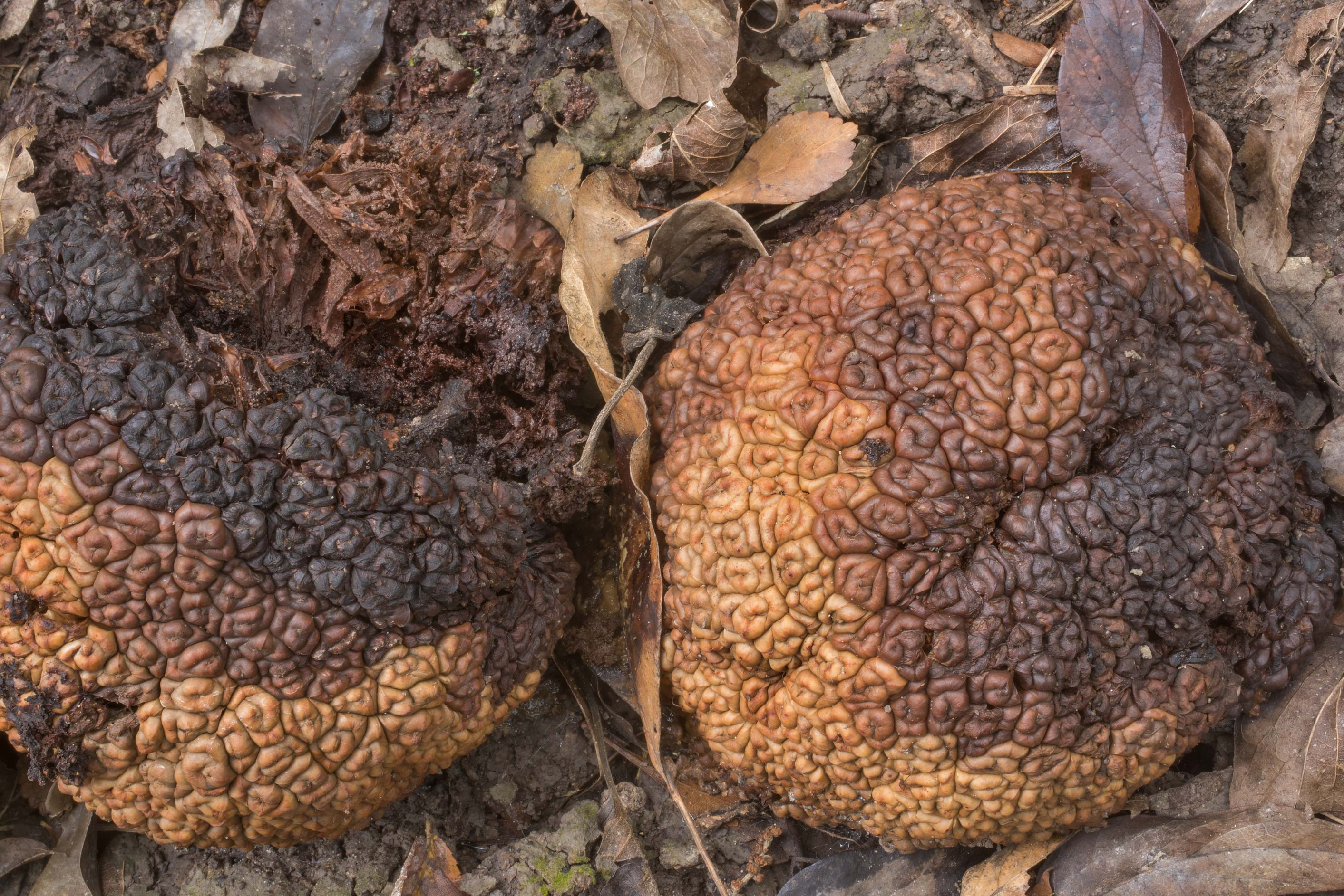 Fallen, decaying fruits of osage orange (hedge...Forest north from Monrgomery. Texas