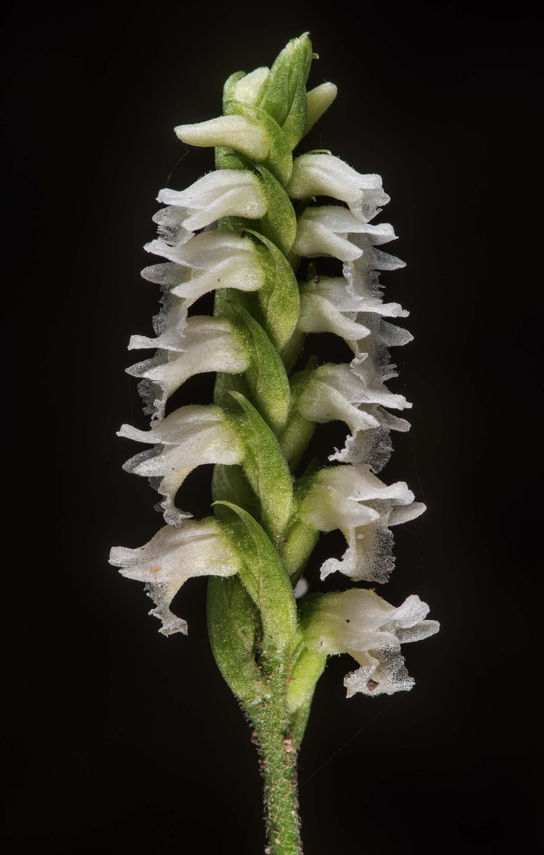 Flowers of ladies' tresses (Spiranthes ovalis var...National Forest. Cleveland, Texas