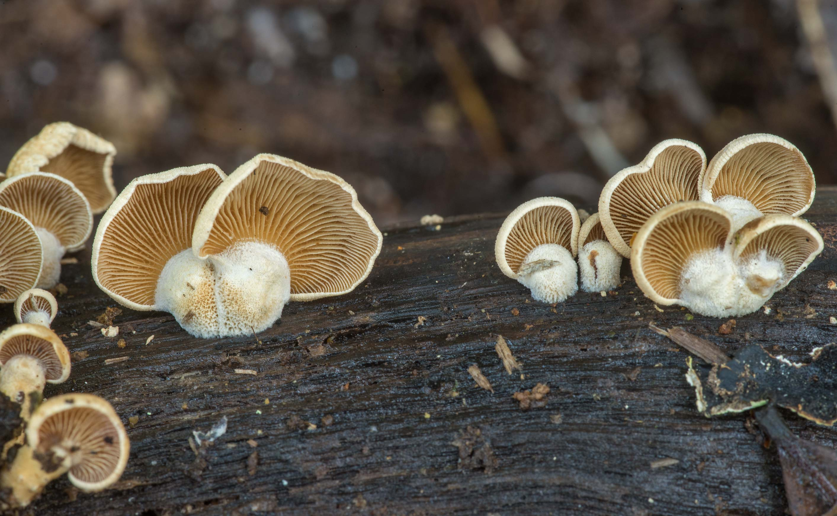 Bitter oysterling mushrooms (Panellus stipticus...National Forest. Shepherd, Texas