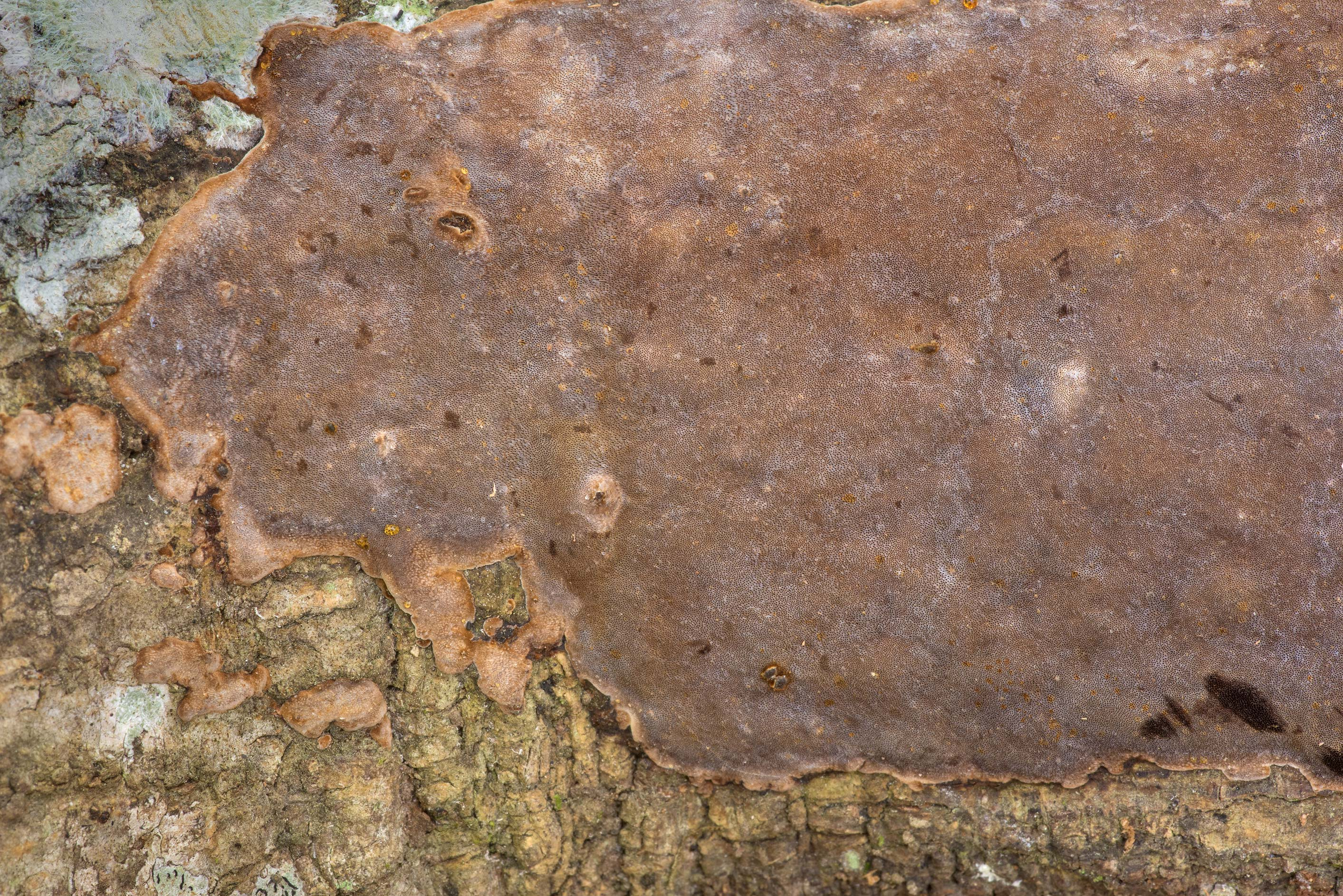 Brown crust fungus Phellinus at Big Creek Scenic...National Forest. Shepherd, Texas