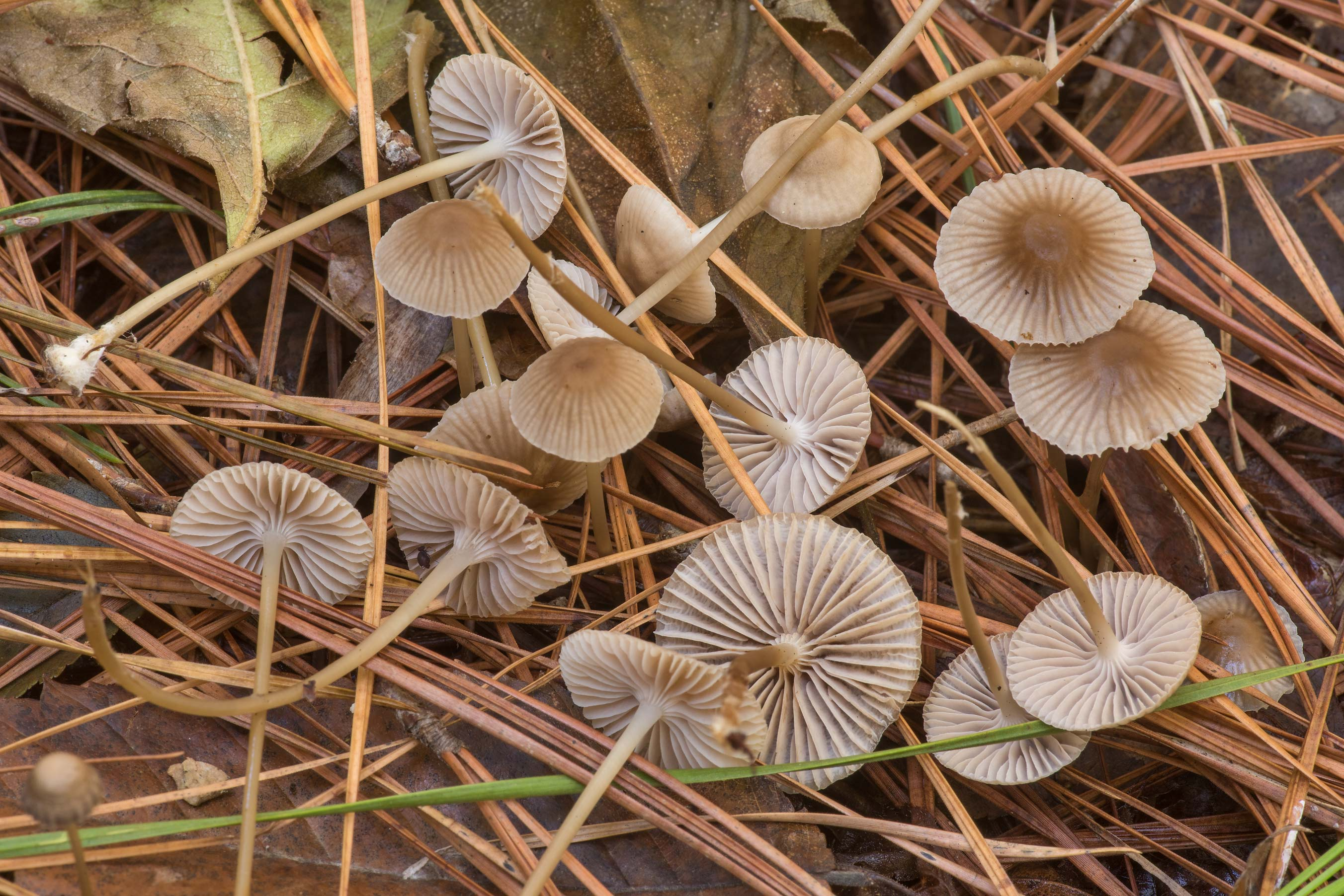 Mushrooms with slippery stems Mycena clavicularis...National Forest. Shepherd, Texas