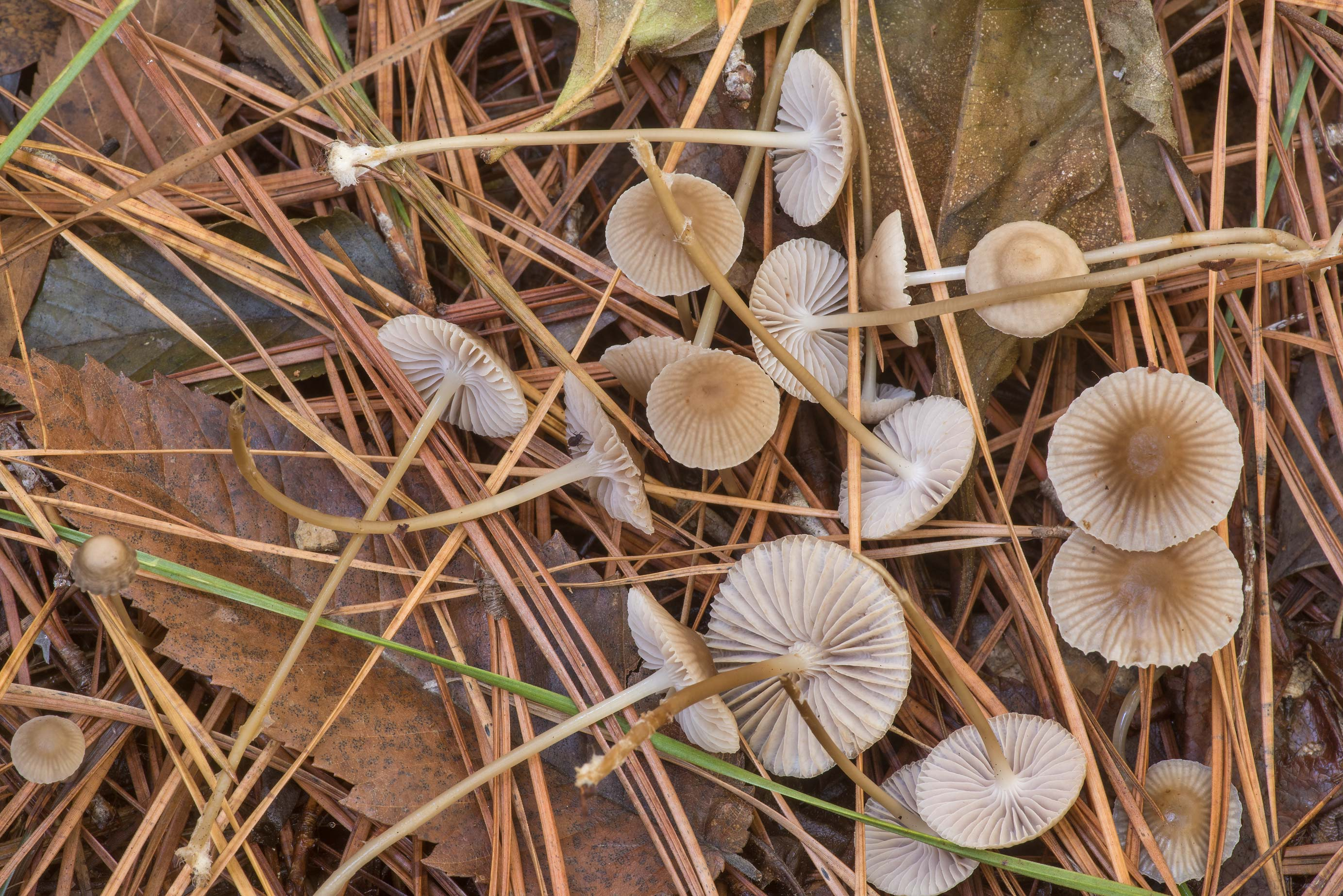 Fairy cap mushrooms Mycena clavicularis in a pine...National Forest. Shepherd, Texas