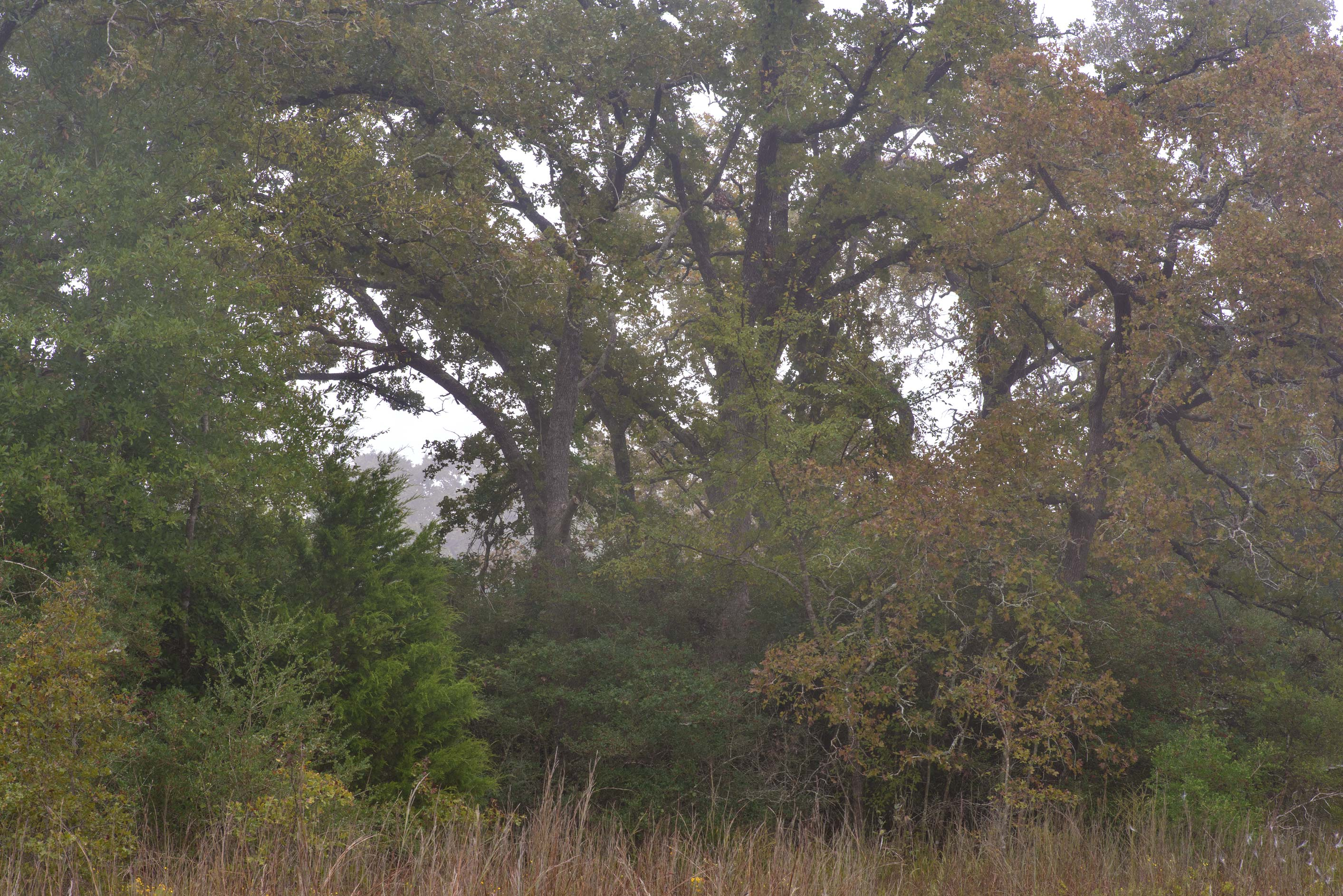 Prairie and oaks in Lick Creek Park. College Station, Texas